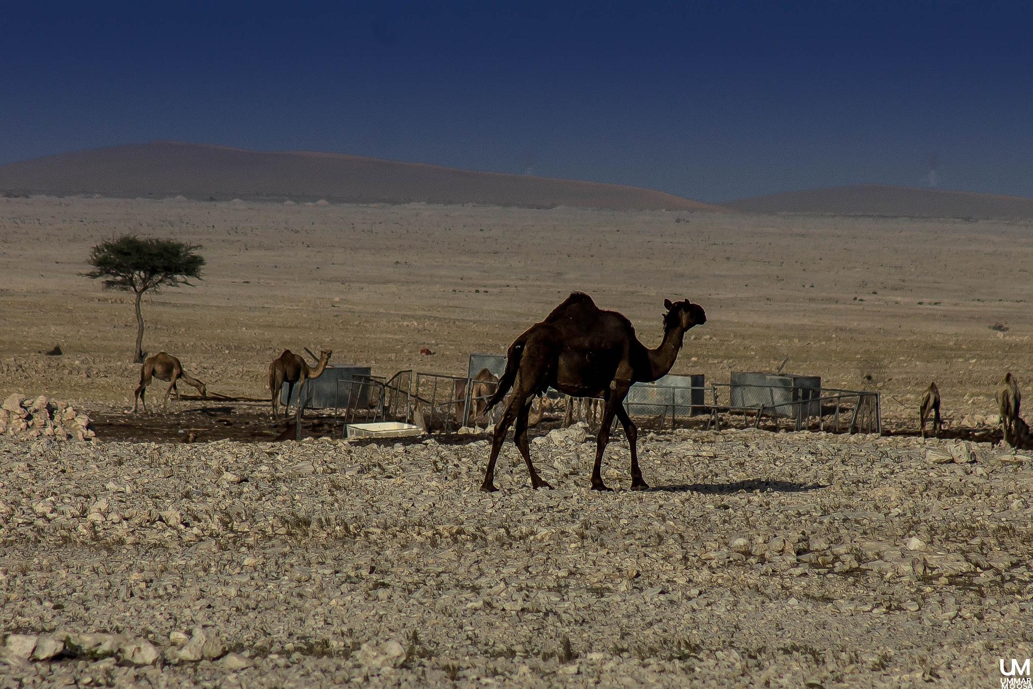 A Camel in desert by Ummar Moosa