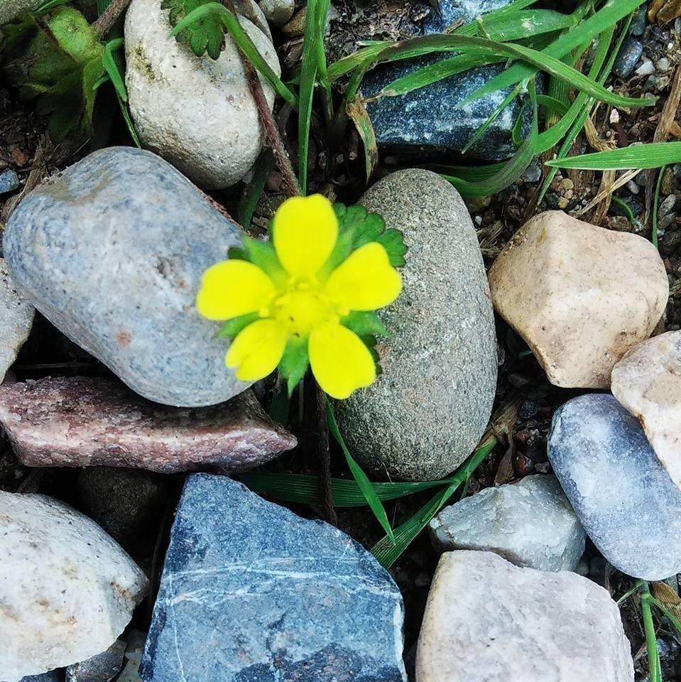 #HimachalPradesh #Nature #Beauty #Beautiful #Flower #Stone by sonikasingh