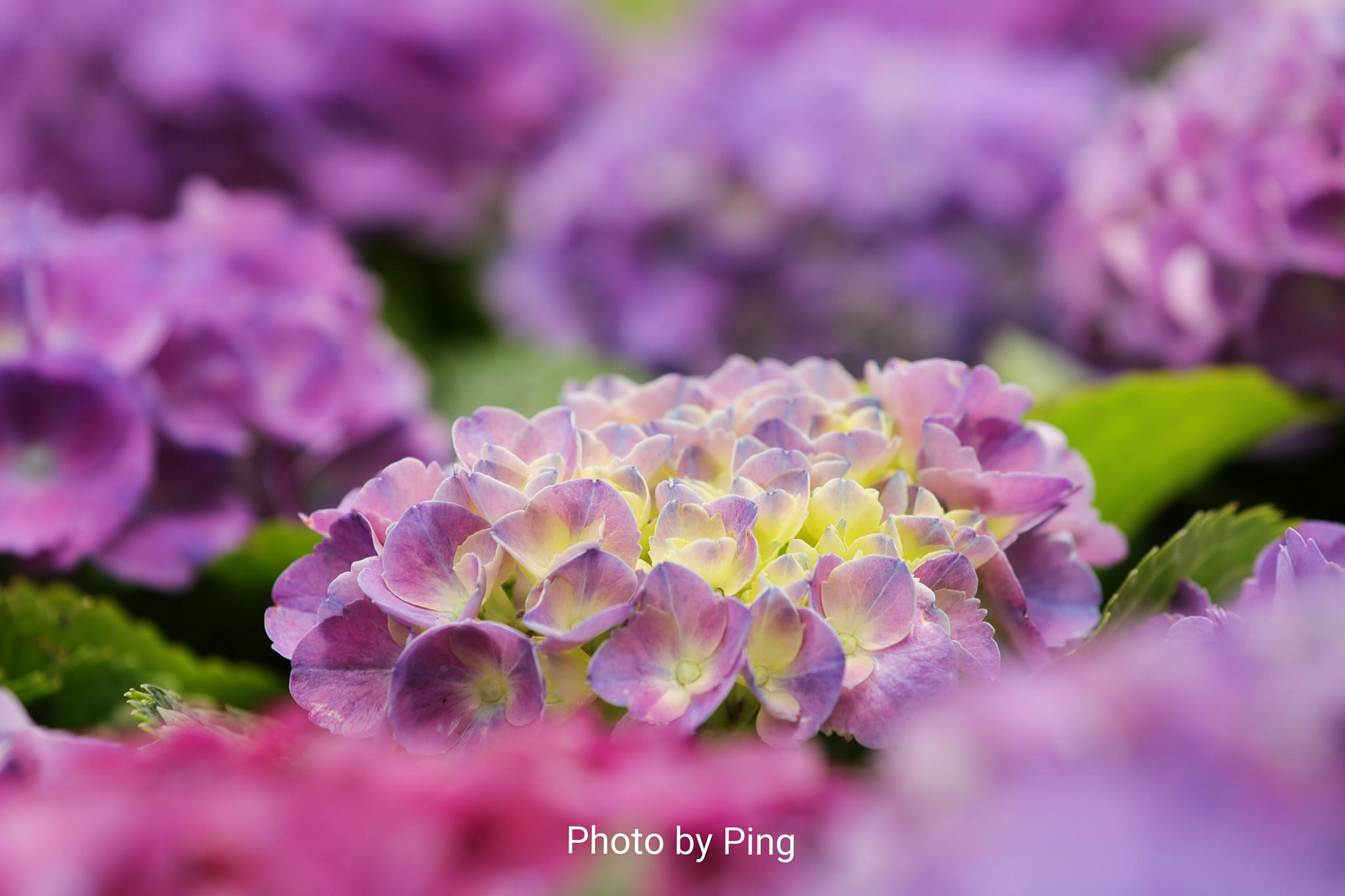 美麗粉紫色 by Ping Lau
