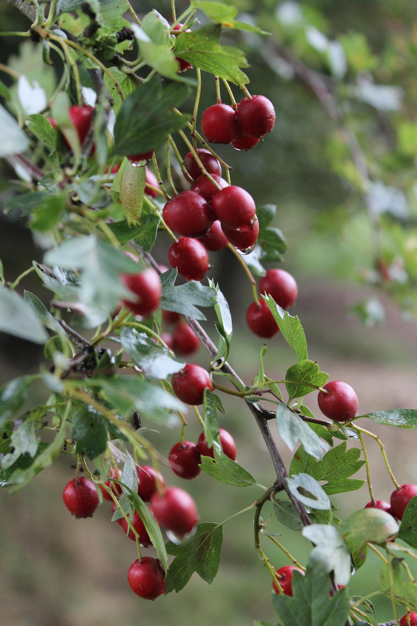 Dewy Red Berries by Jon Brooke-Langham