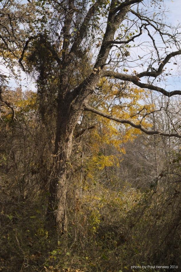 Photo in Nature #tree #vines #foliage #autumn #texas #woods