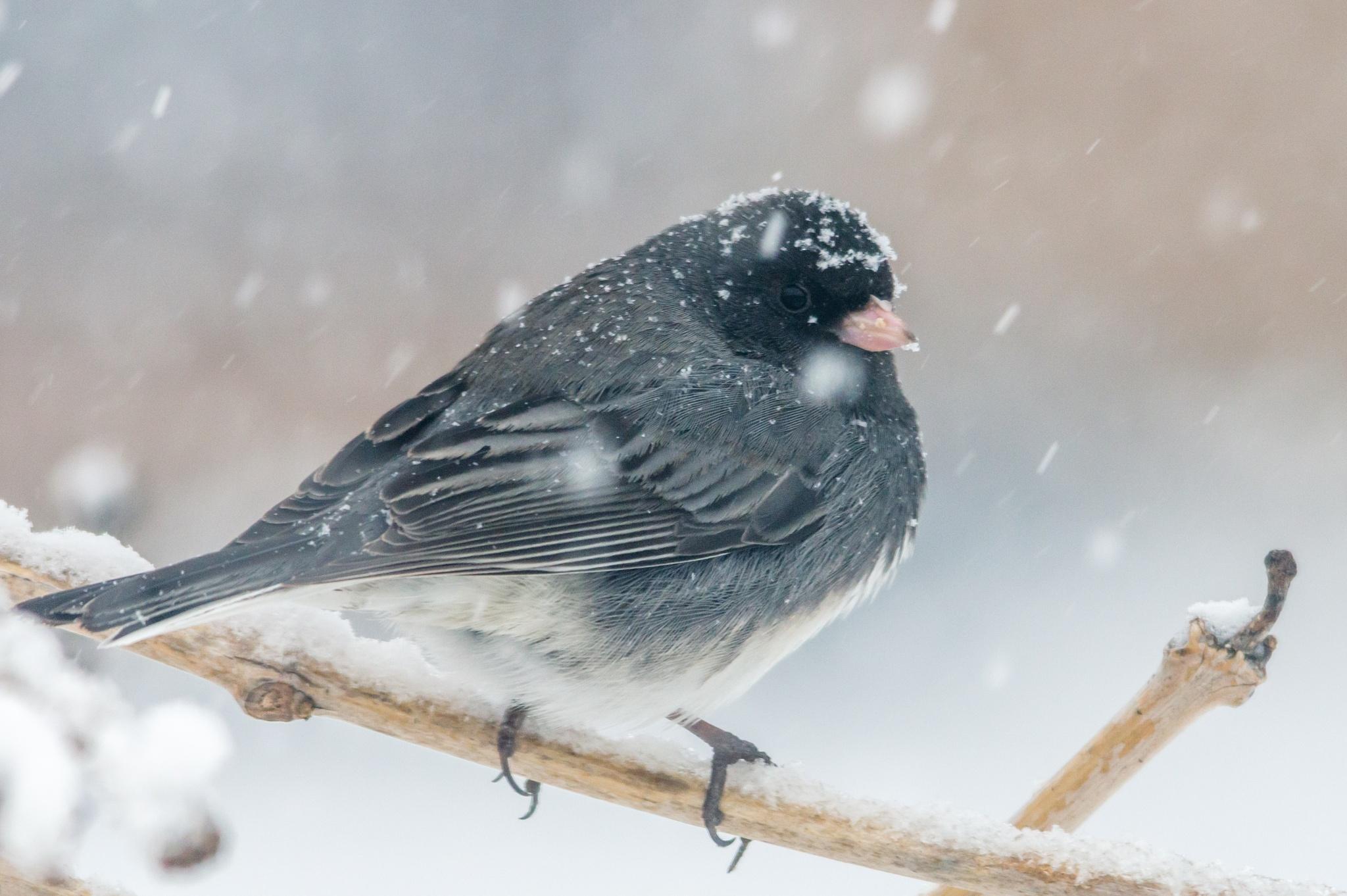 Dark-eyed Junco Snow by boriscleto