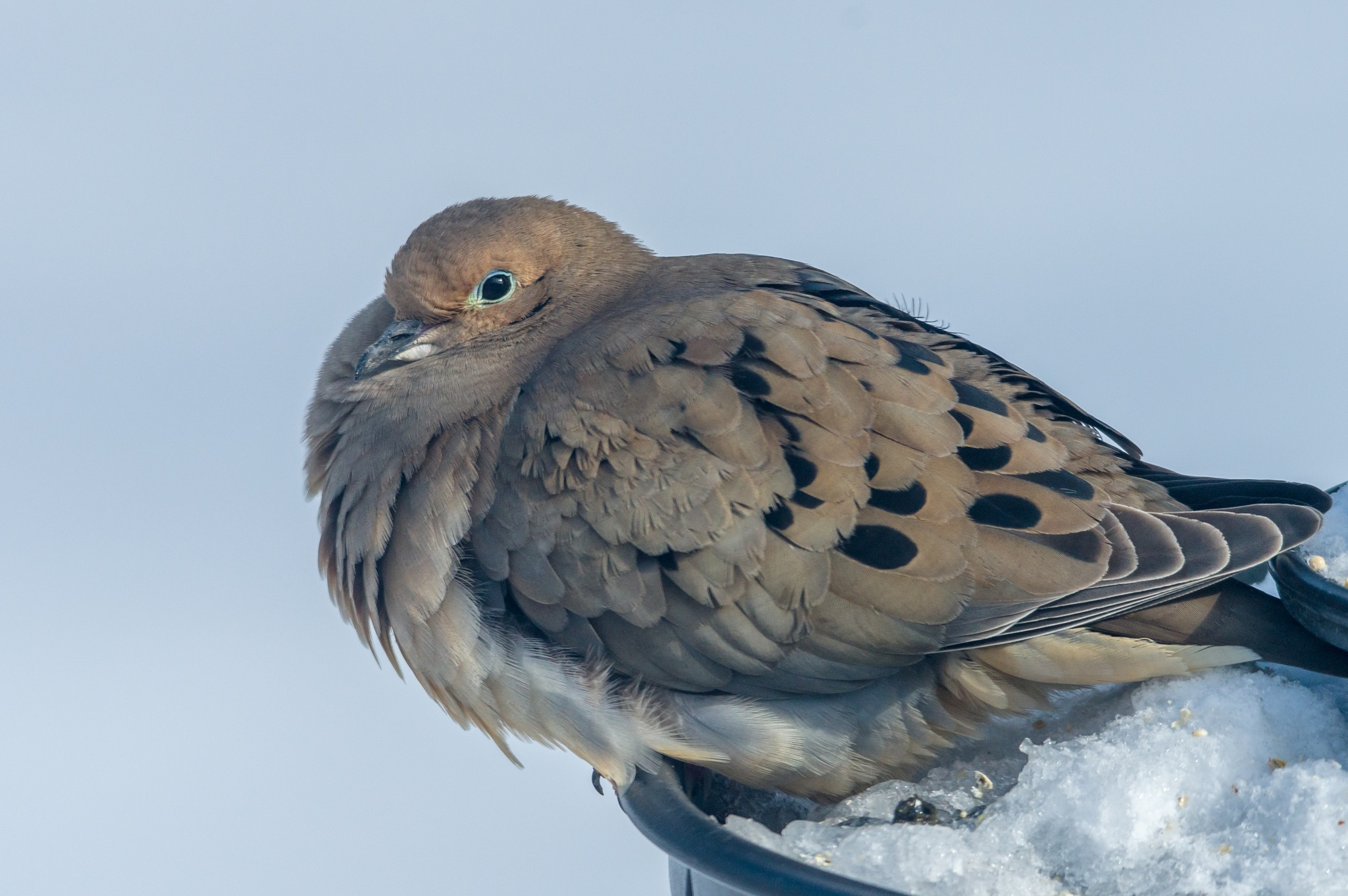 Mourning Dove by boriscleto