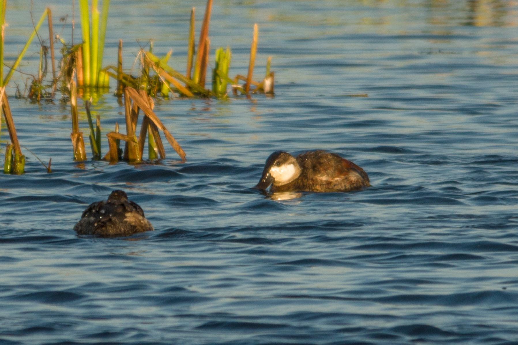 Ruddy Duck by boriscleto