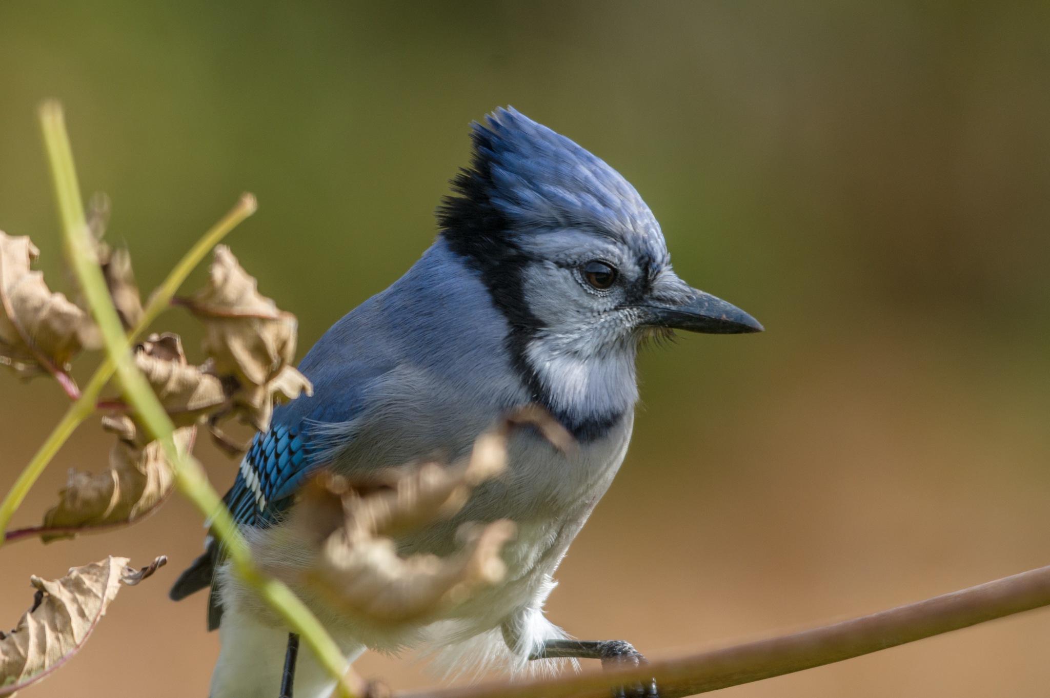 Blue Jay by boriscleto