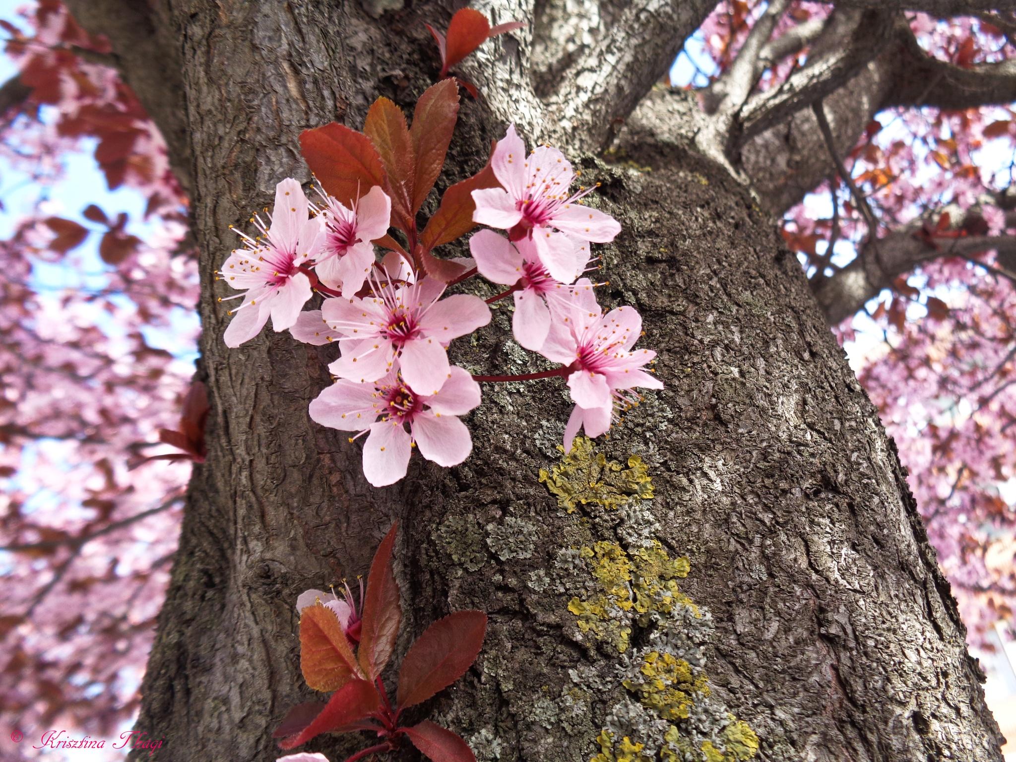 Cherry blossom by Krisztina Thaqi