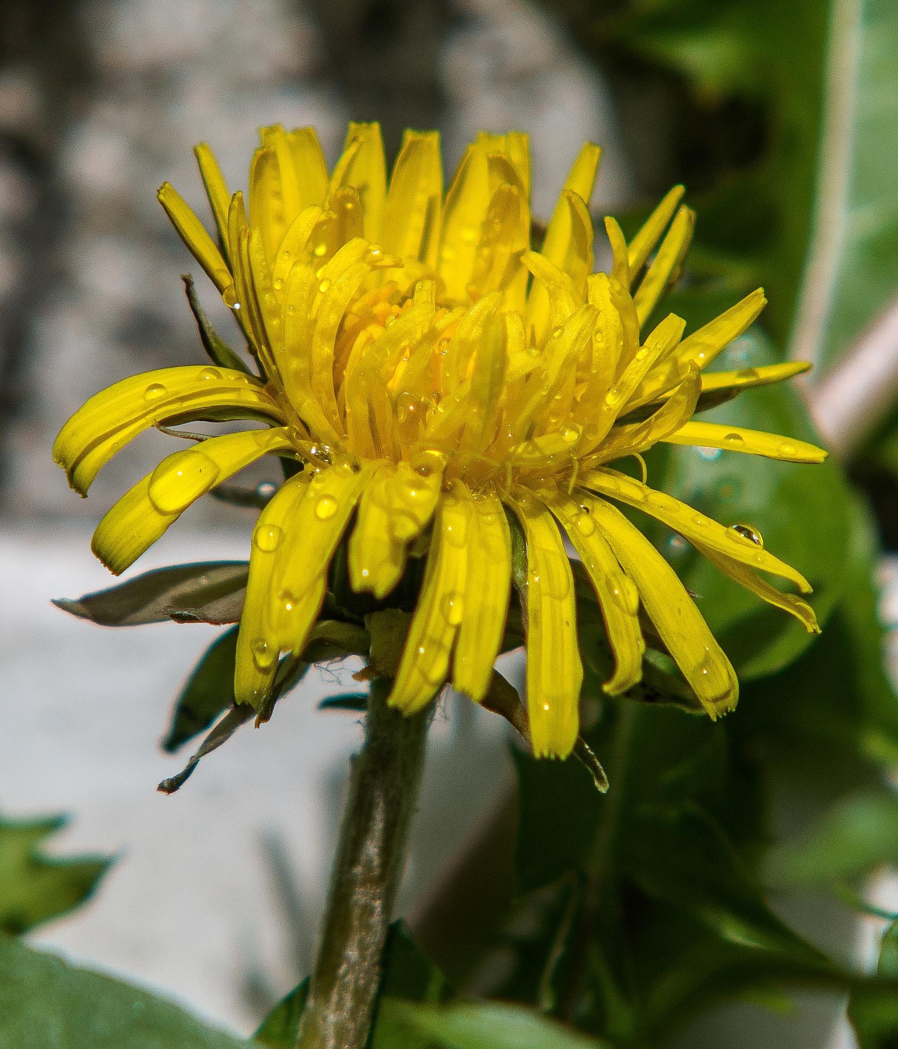 dandelion in the rain by mohhus1