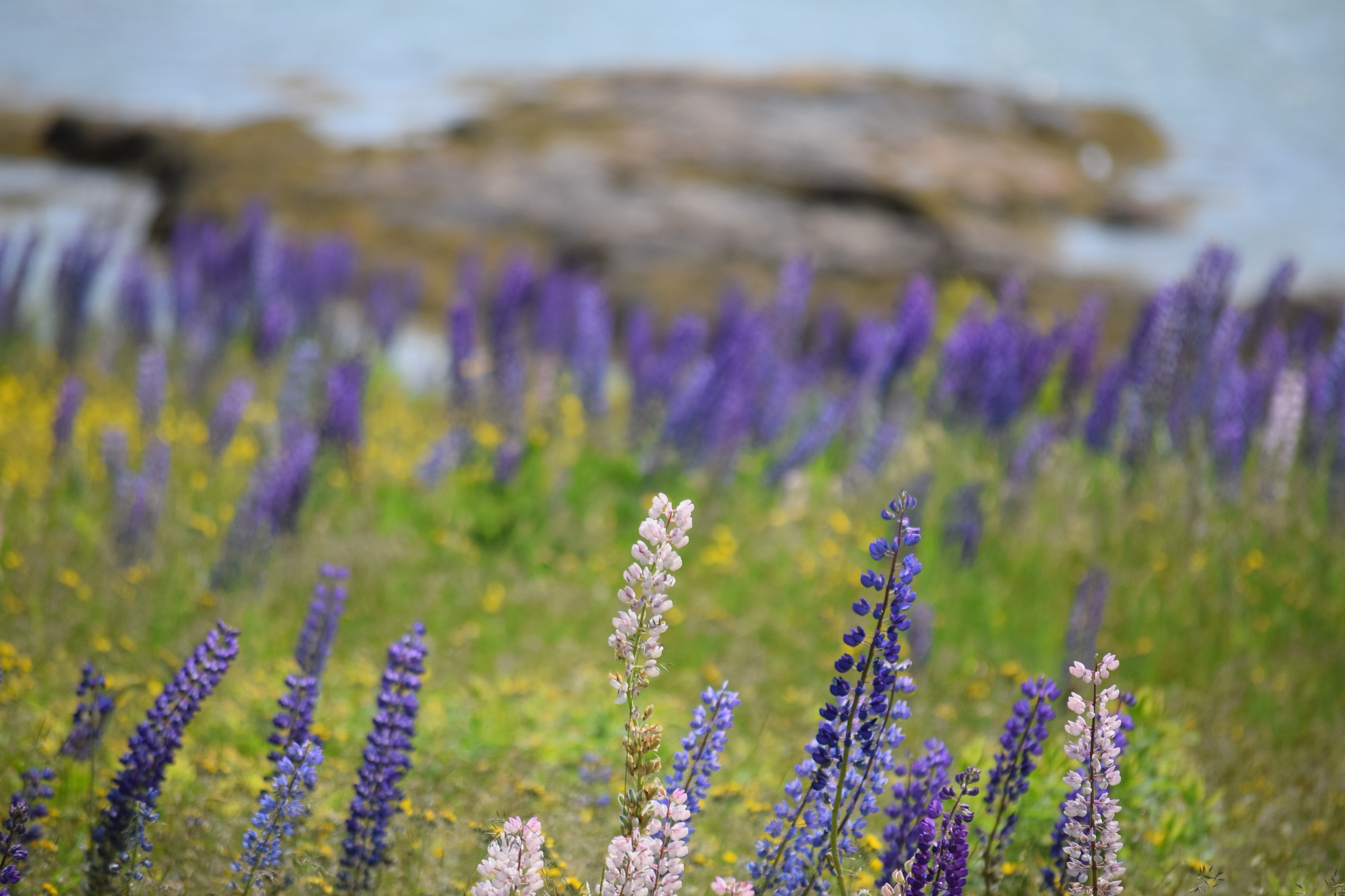 Lupine by LydiaJeanMay