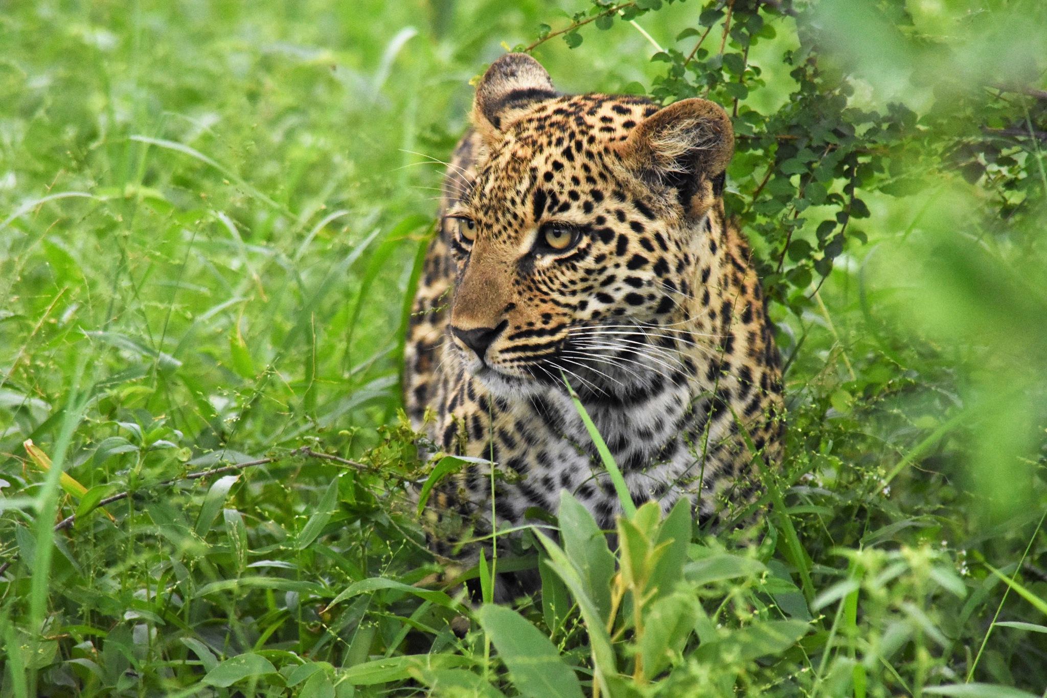 Little leopard in the gras by LydiaJeanMay