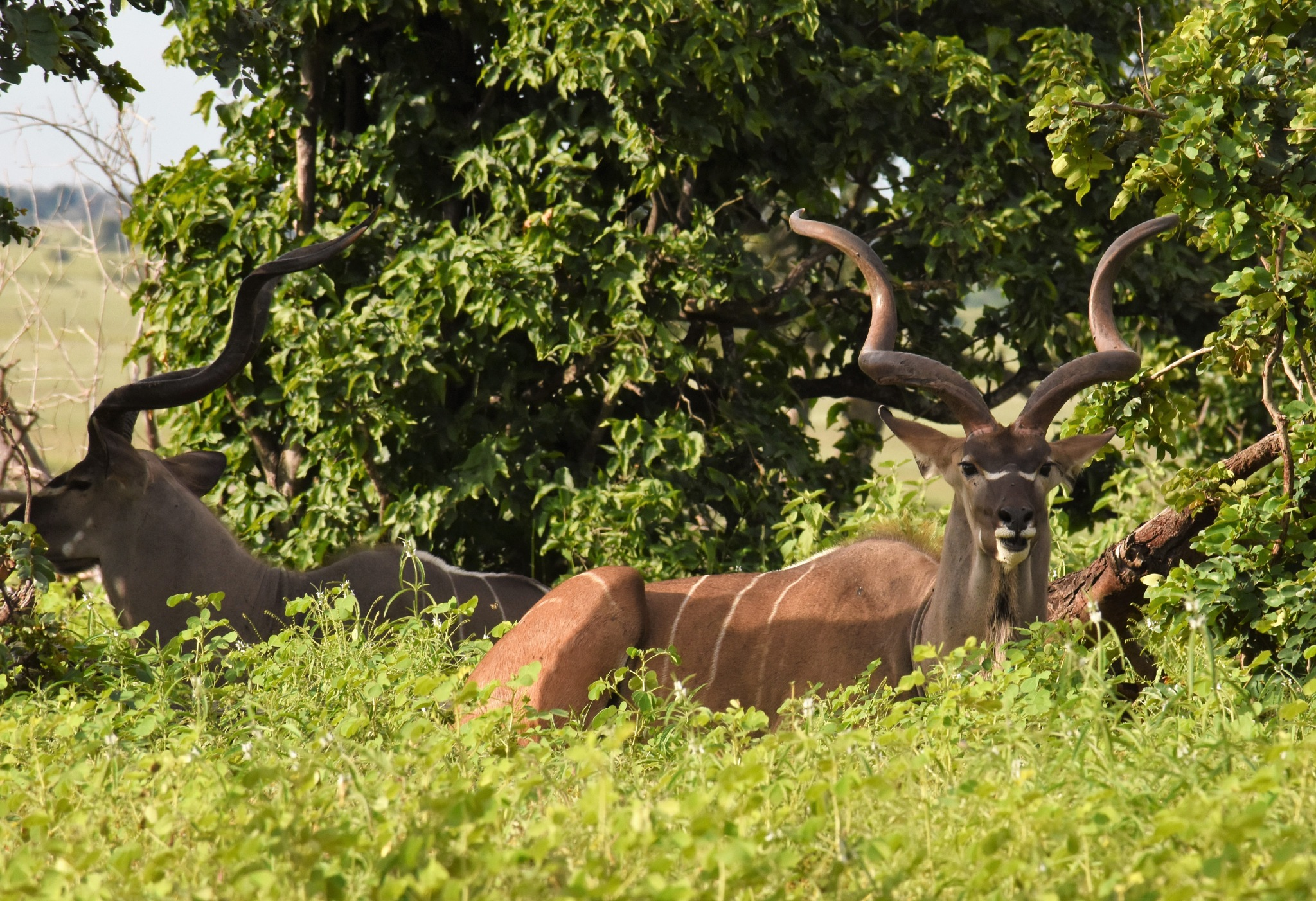 Kudu's in the woods  by LydiaJeanMay