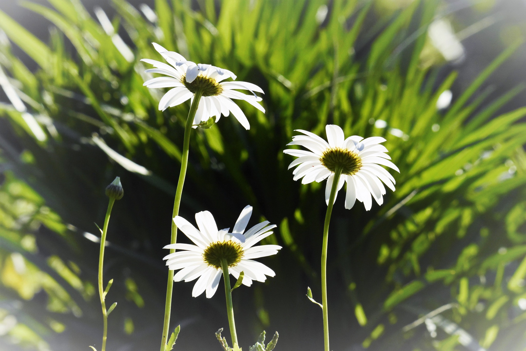 Daisys in the grass by LydiaJeanMay