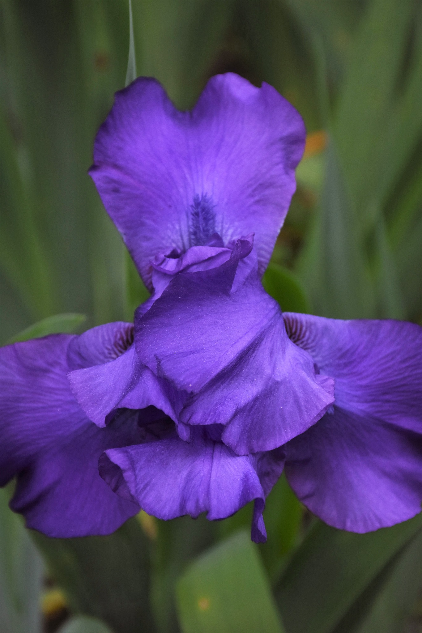 Blue Iris  by LydiaJeanMay