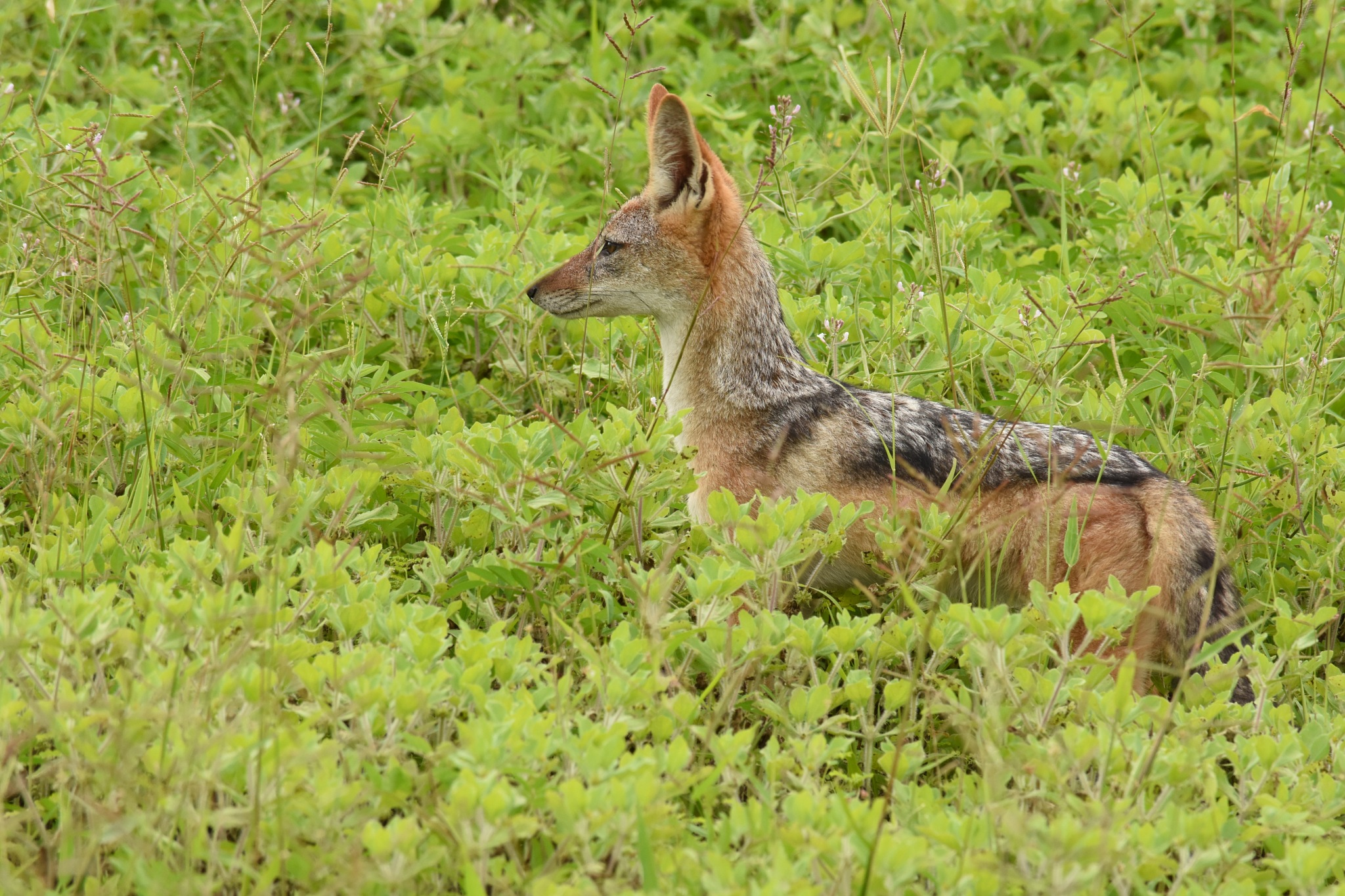 The jackal watches and waits by LydiaJeanMay