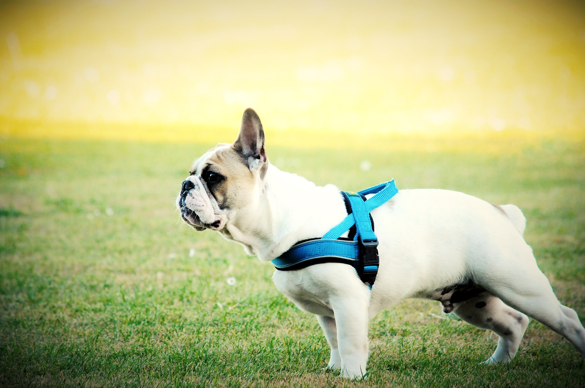 french Bull dog by Chuculain