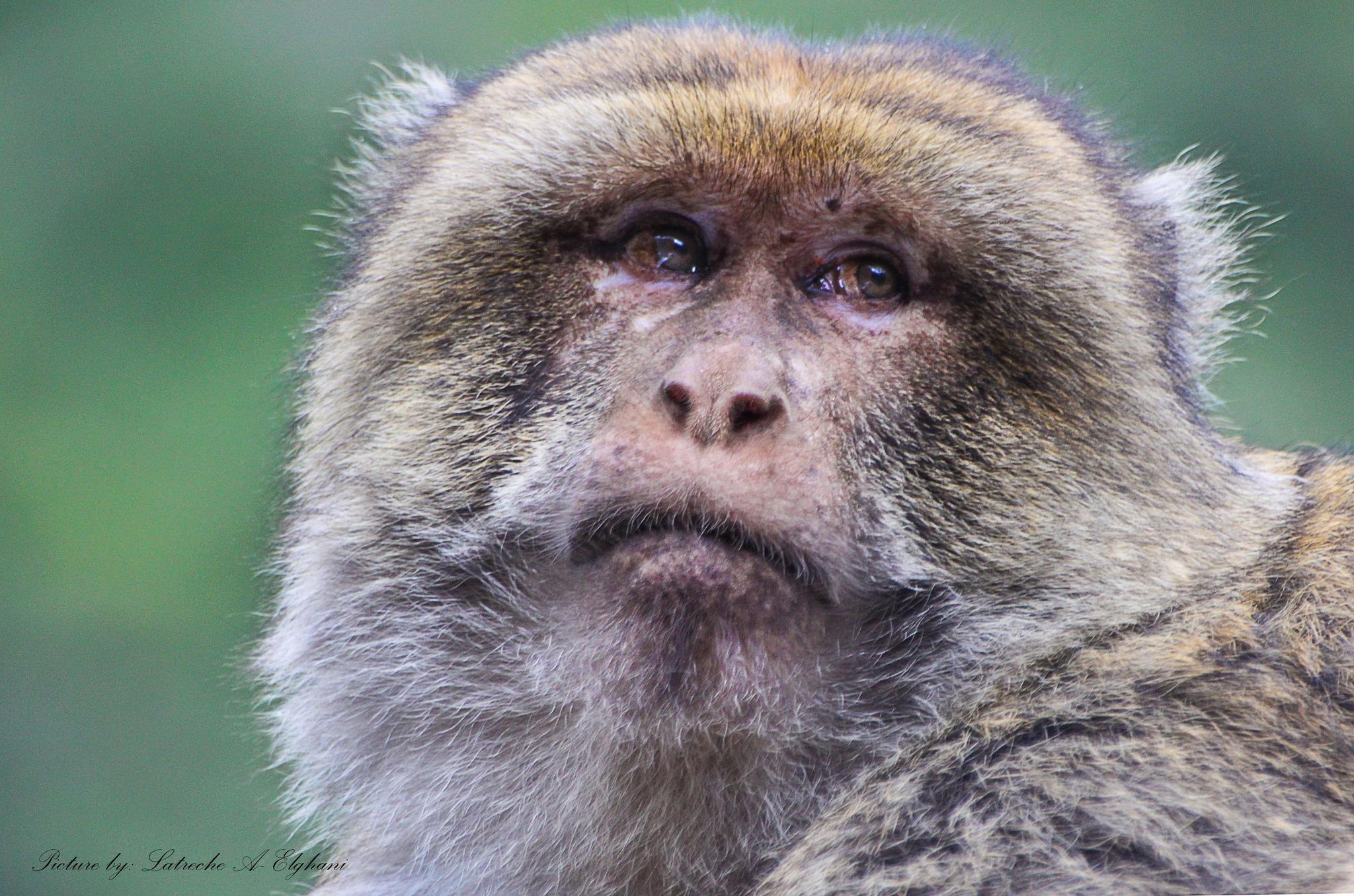 Monkey by latreche71