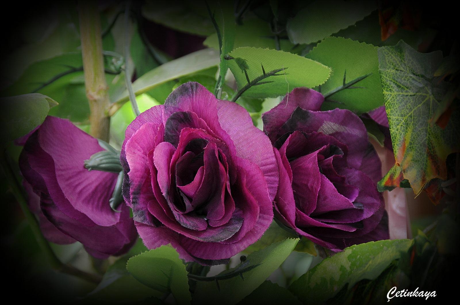 rose by minas_cetinkaya