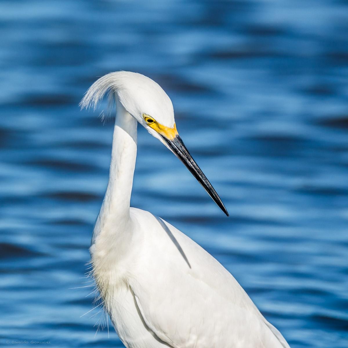 Photo in Animal #heron #birds #water #wild bird #wild life #white heron