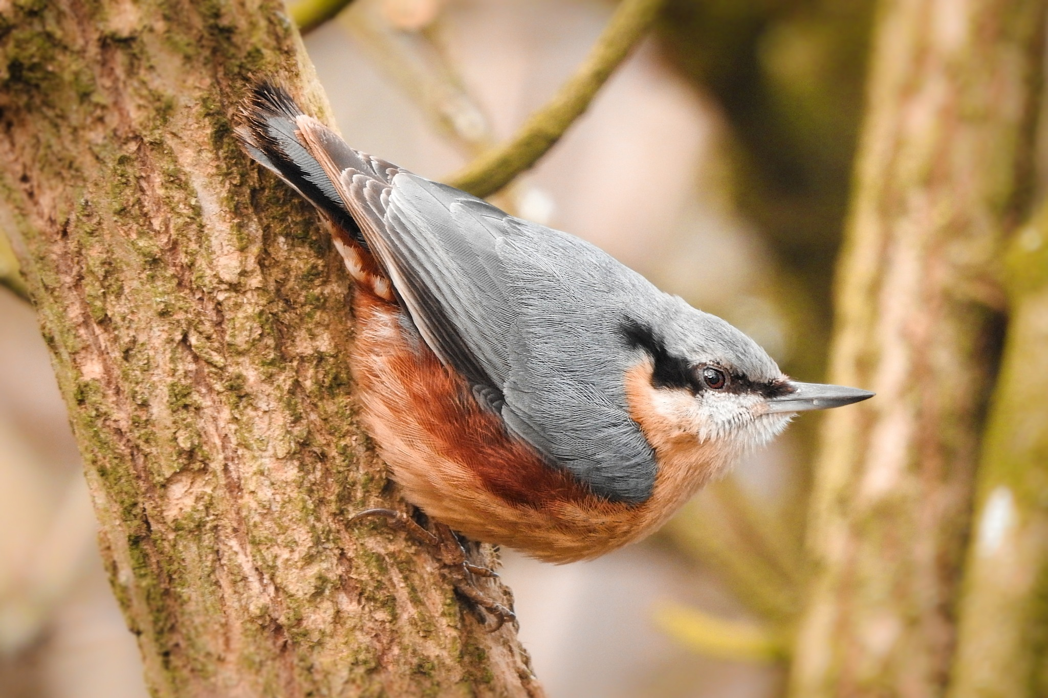 Nuthatch by eliaminator78