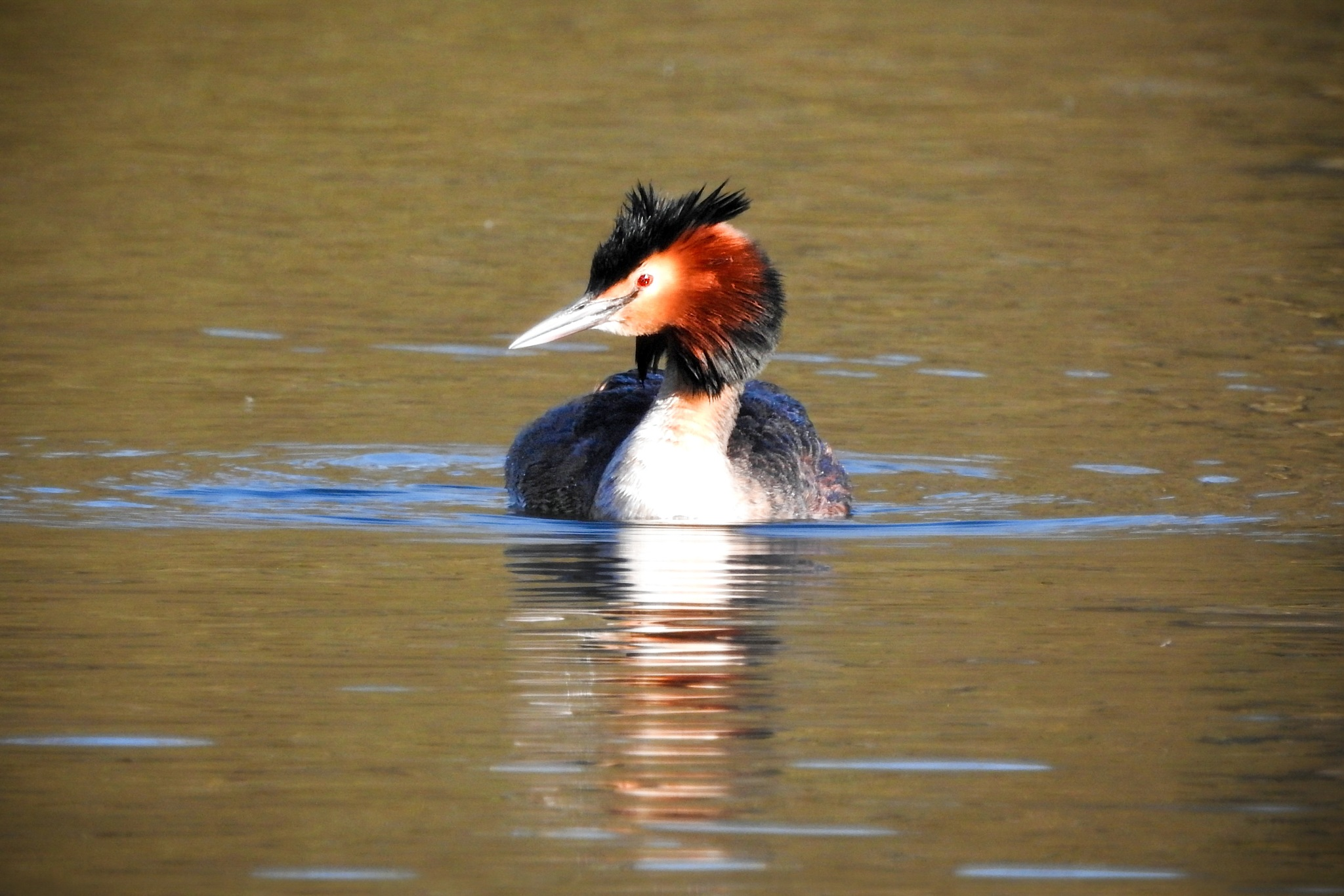 Great crested grebe by eliaminator78