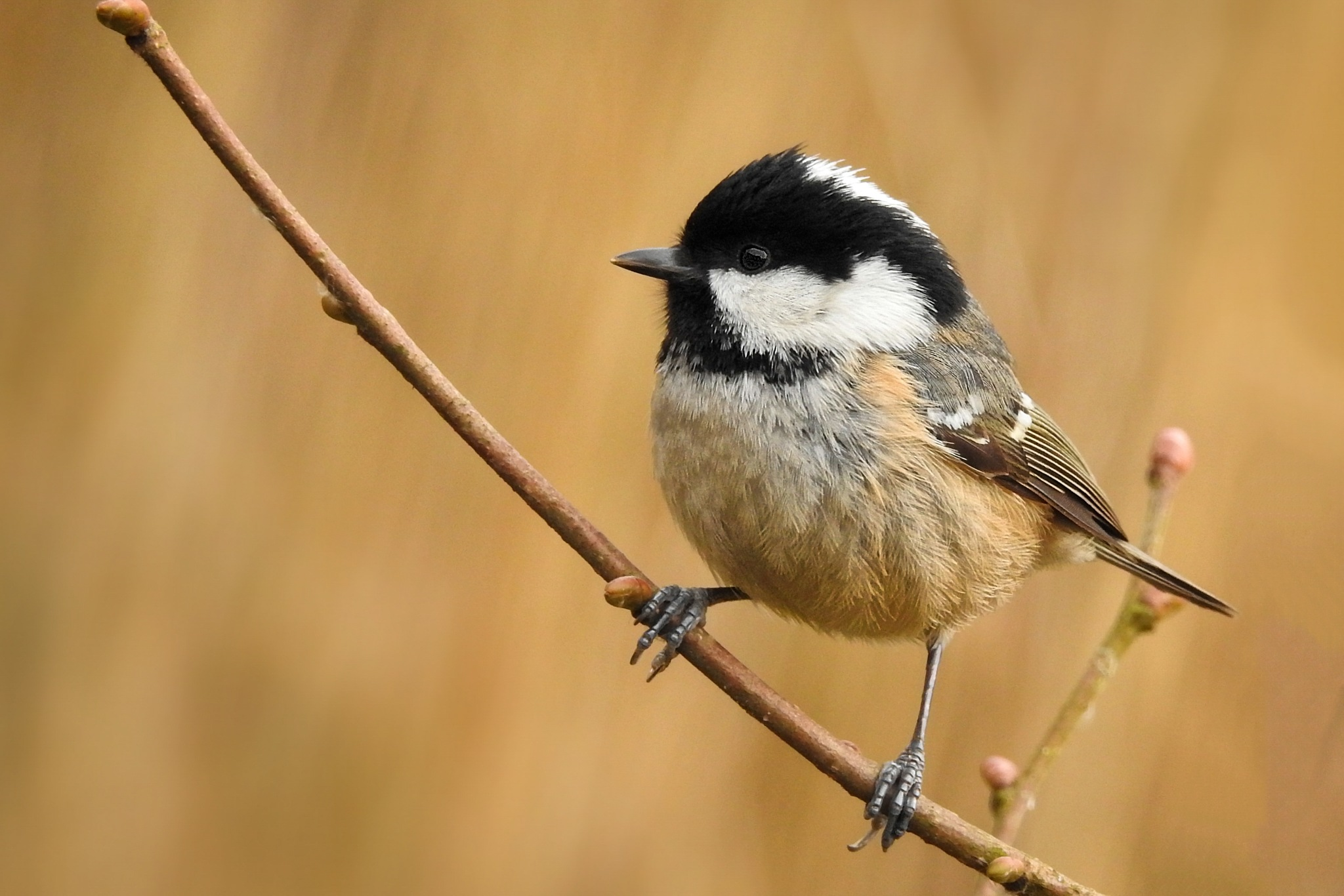 Coal Tit by eliaminator78