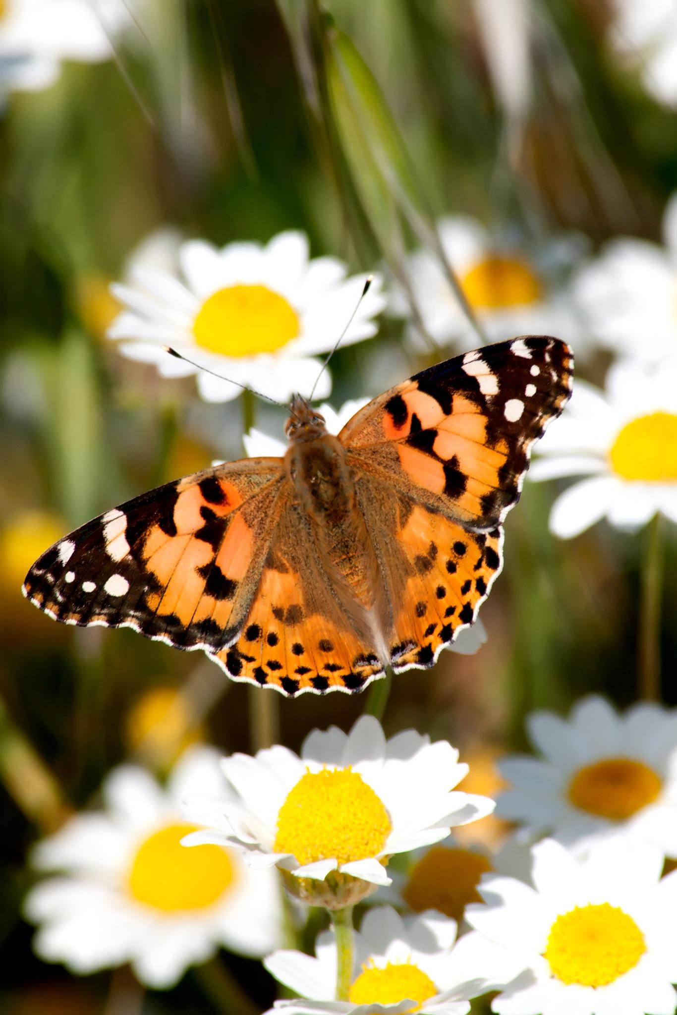 Monarch butterfly on flower by bilgekuzey
