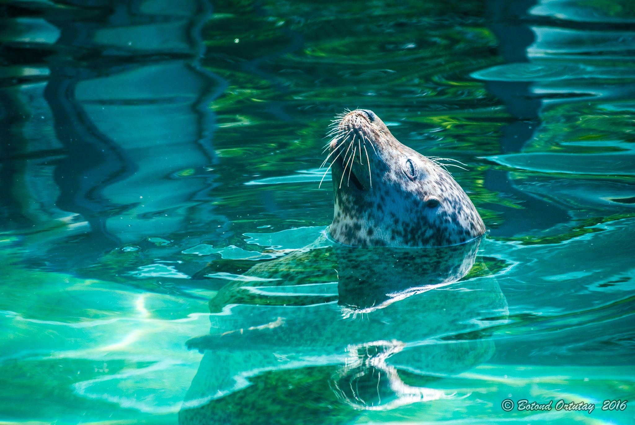 Photo in Animal #seal #sóstó zoo #nyíregyháza #hungary #magyarország