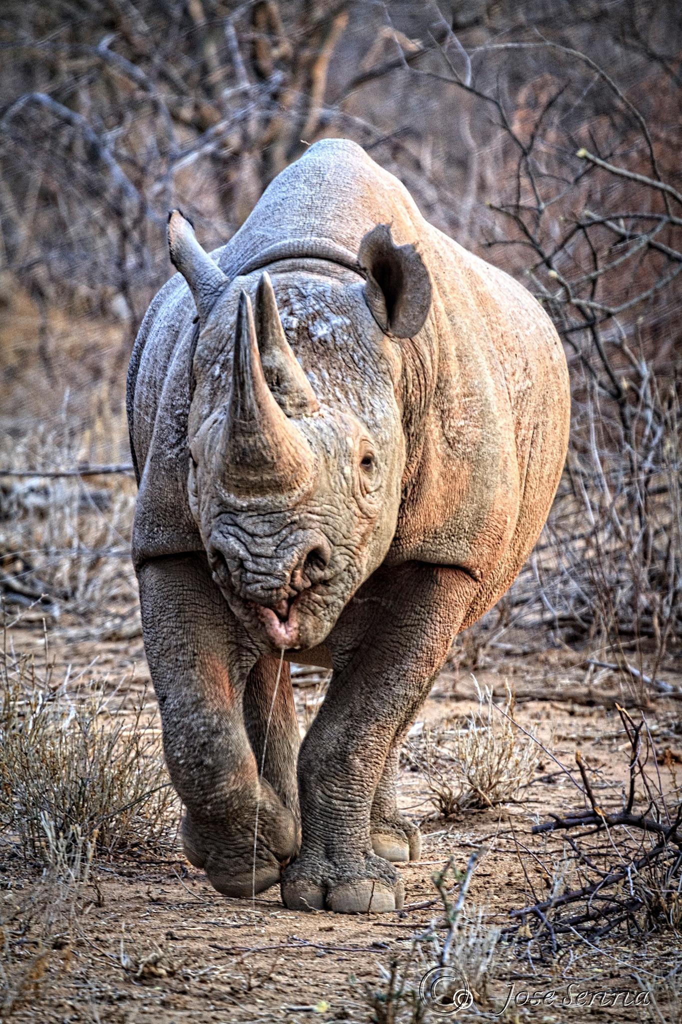 Big five - Rhino by JoseSenna