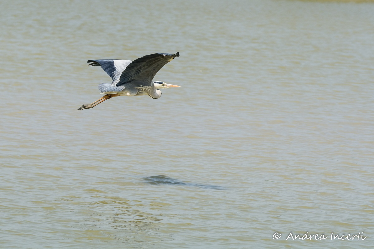 Heron in flight by andrixph