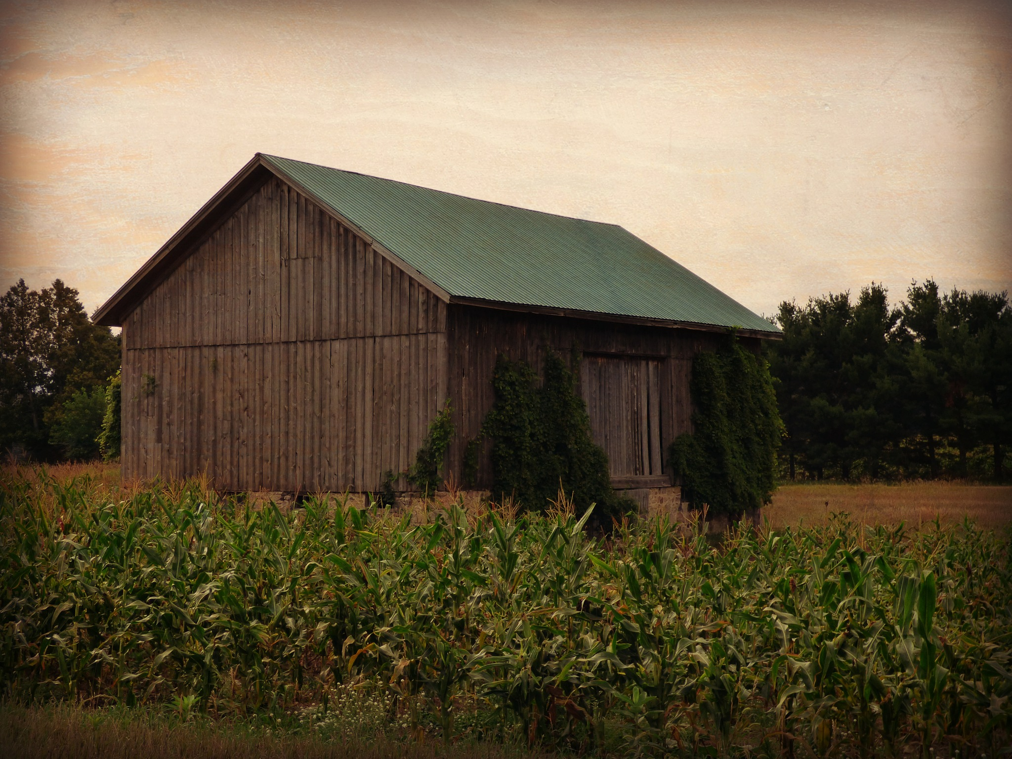 Corn and Ivy by ScottWardPhotography