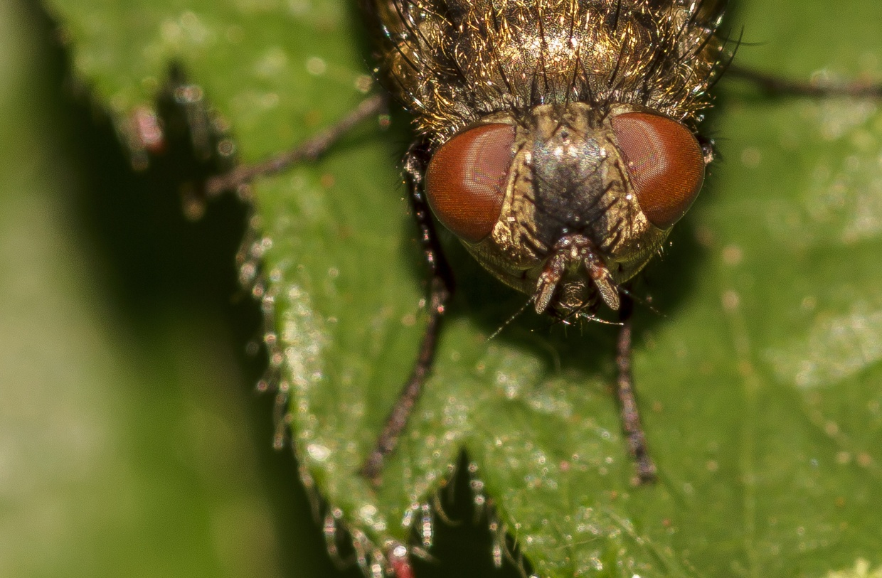 Dung Fly Close Up by David Duff