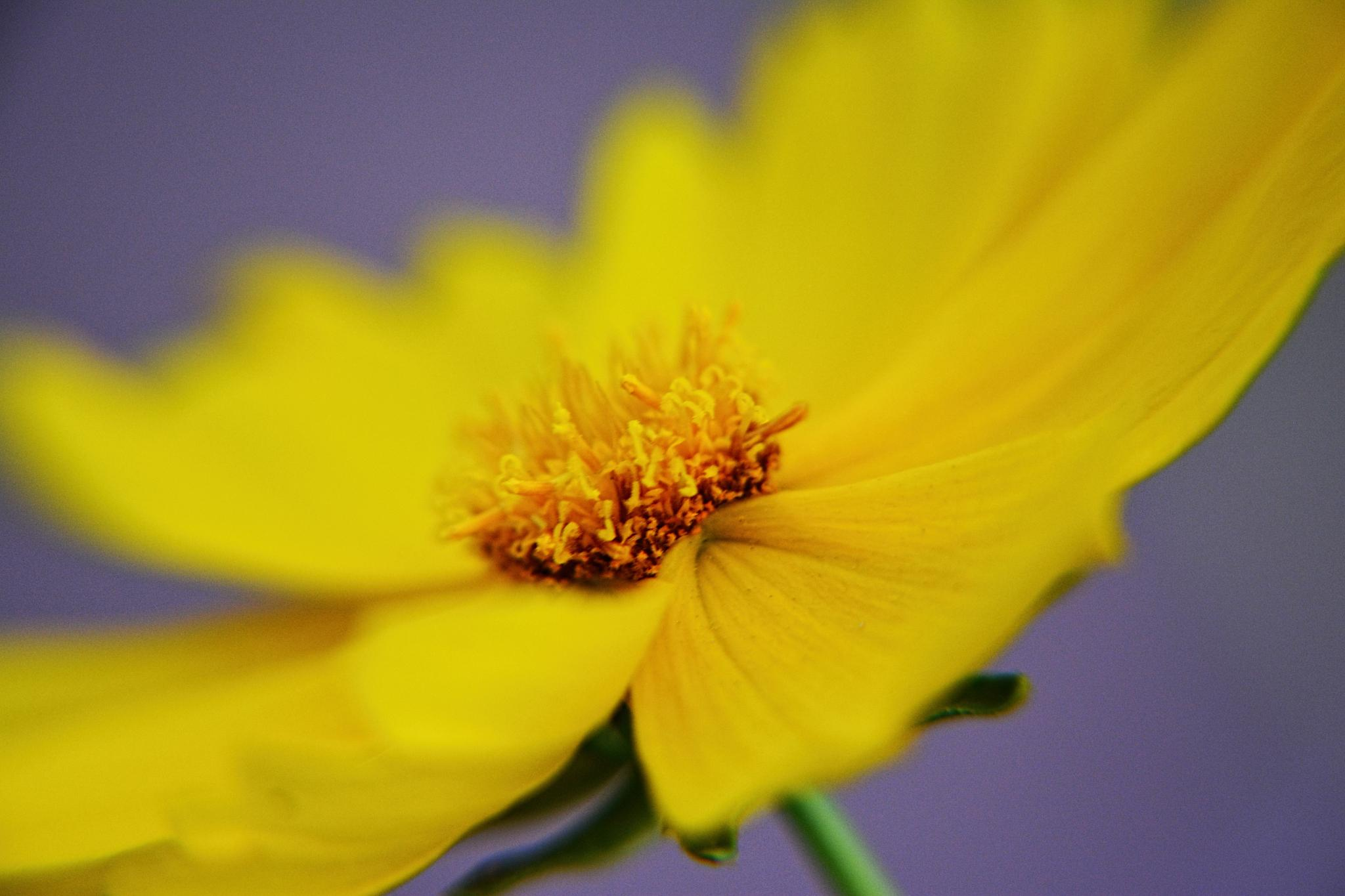 Yellow flower by Zoulficar