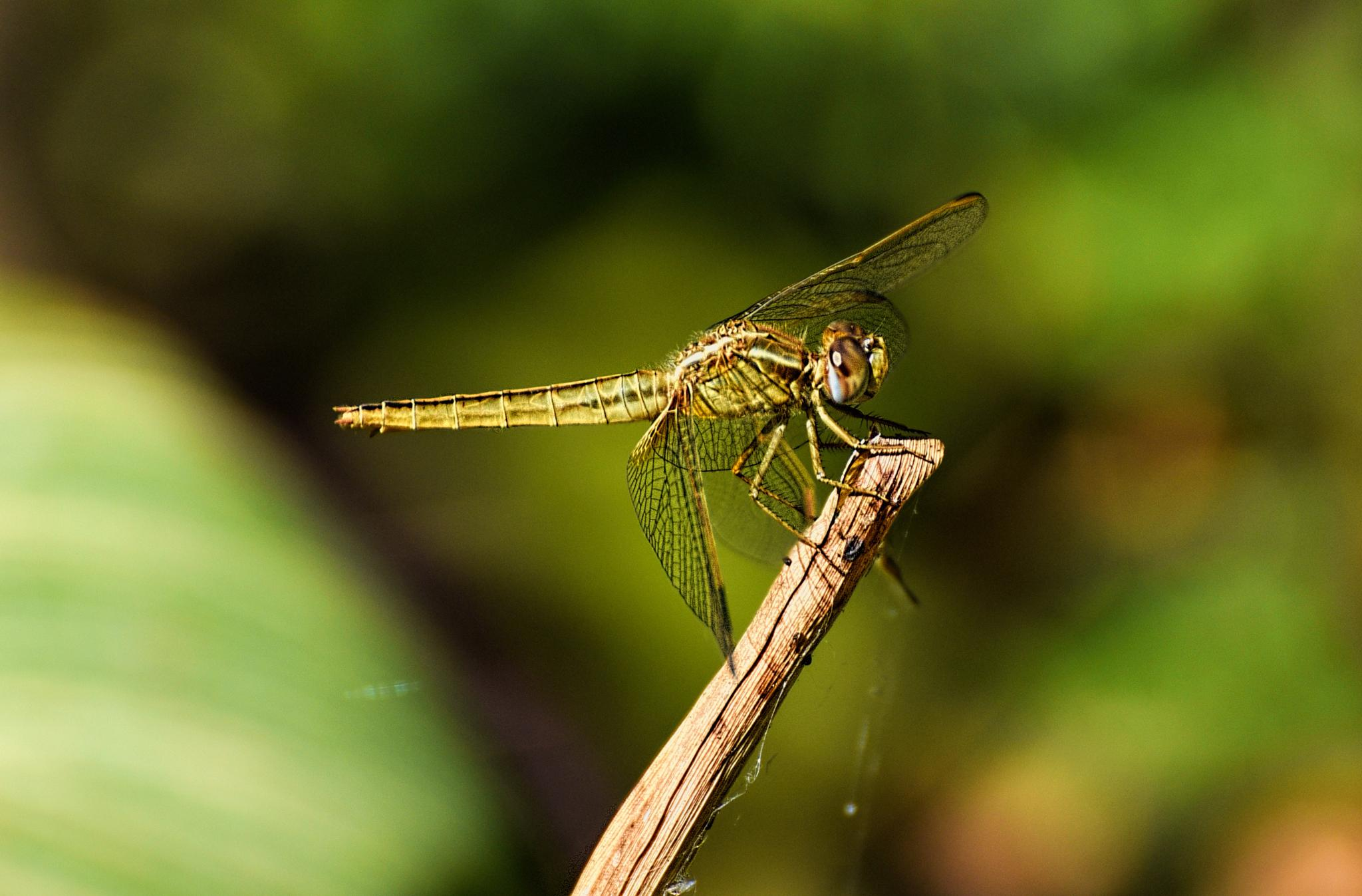 Dragonfly by Zoulficar