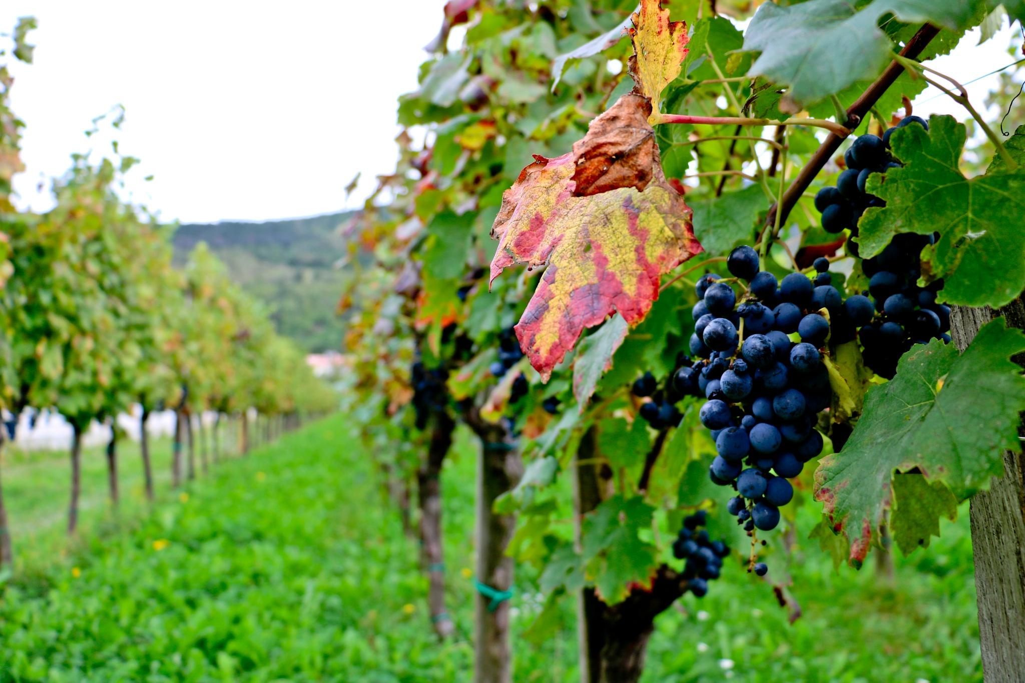 Vineyard by Jan Skočaj
