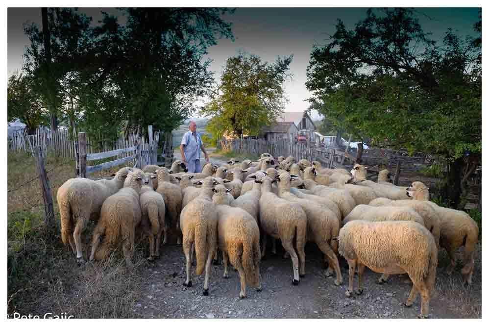 Bringing in the flock by PeteGajic