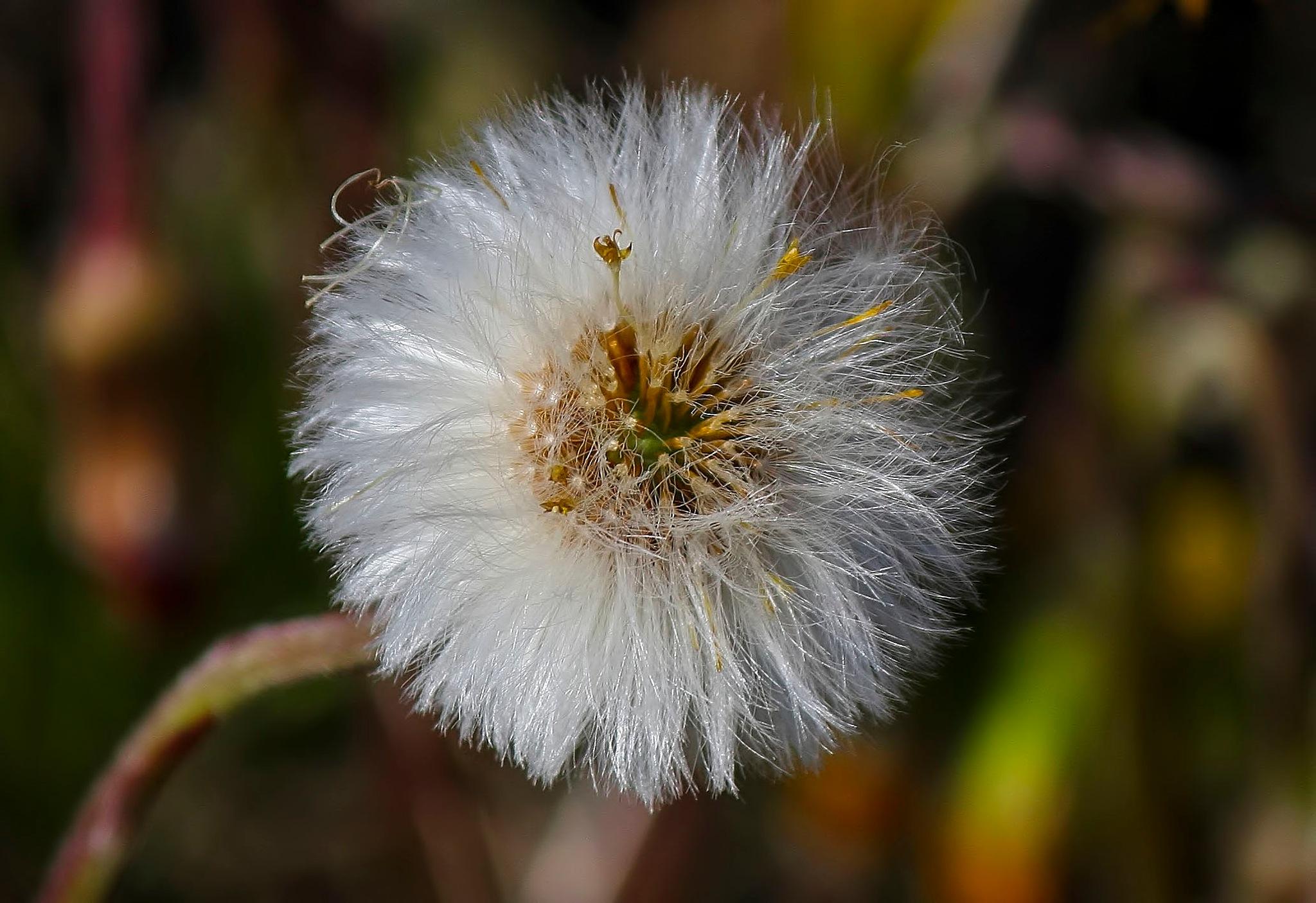 Dandelion by alundavies16