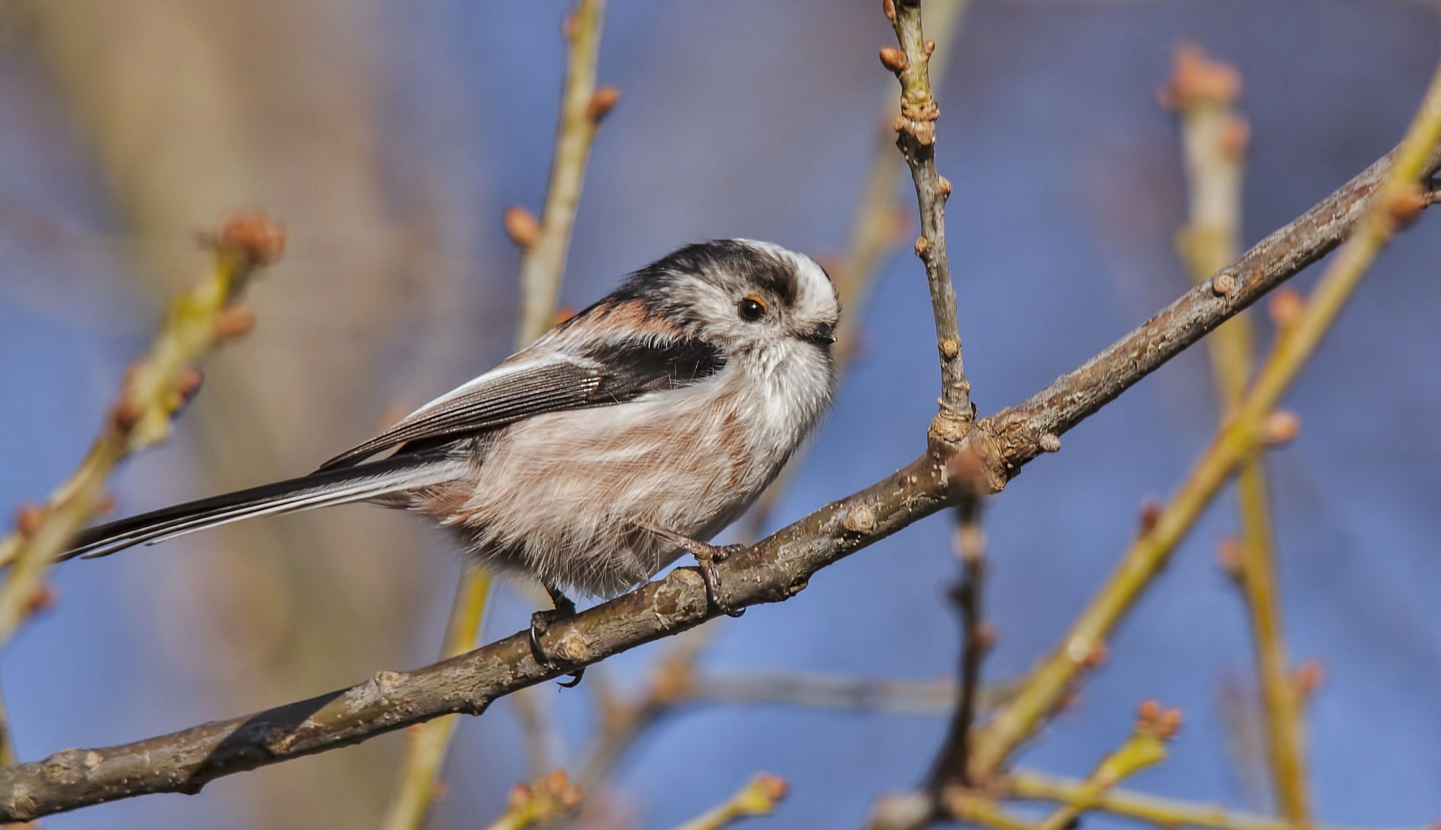 Long tailed tit by alundavies16
