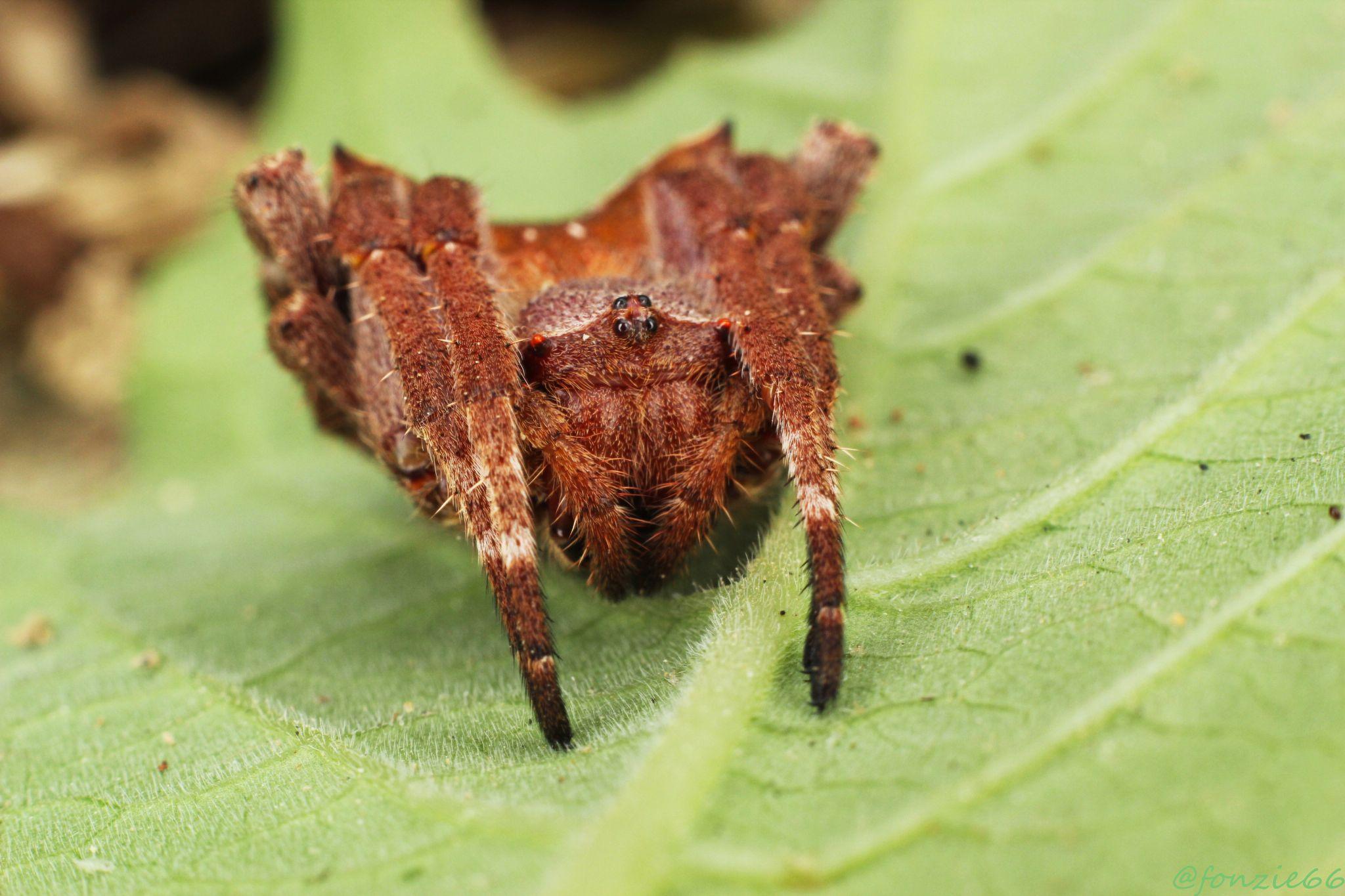 spider by Fonzie Lantoi