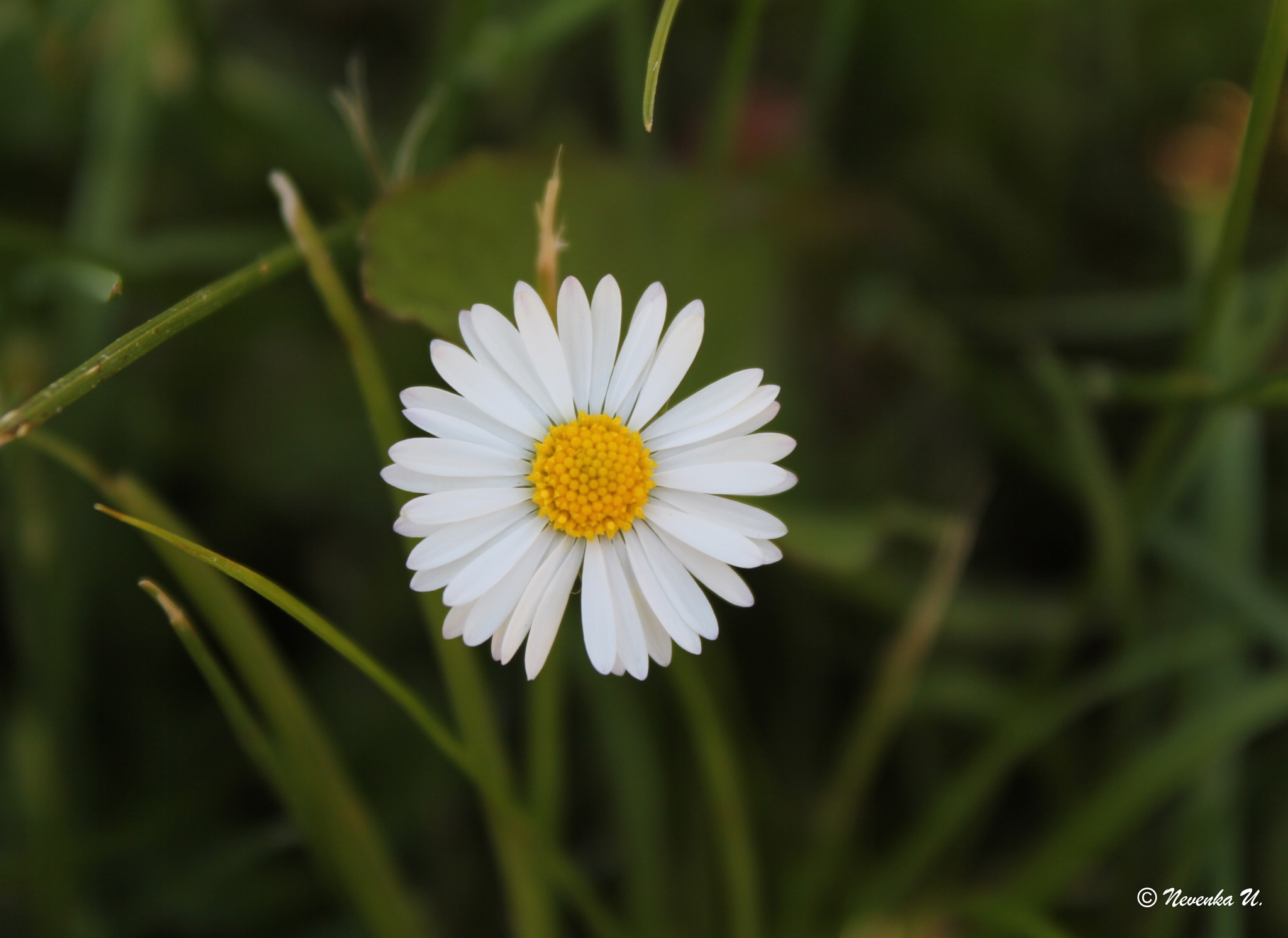 little flower by Nevenka Urbančič