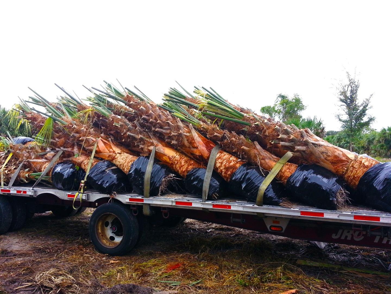 Palm Trees Carolina by Palm Tree Depot