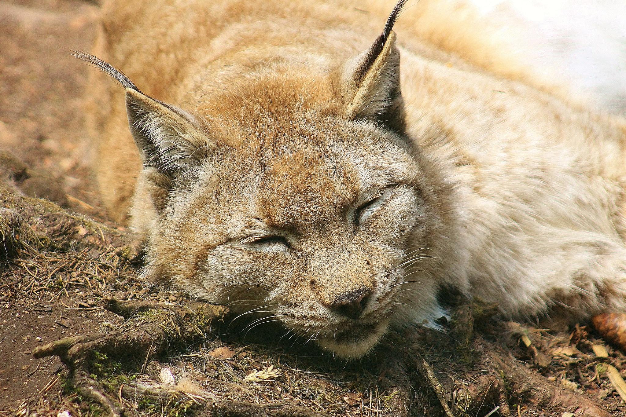 Llince europea o lince eurasiatica (Lynx lynx) by meiferdinando