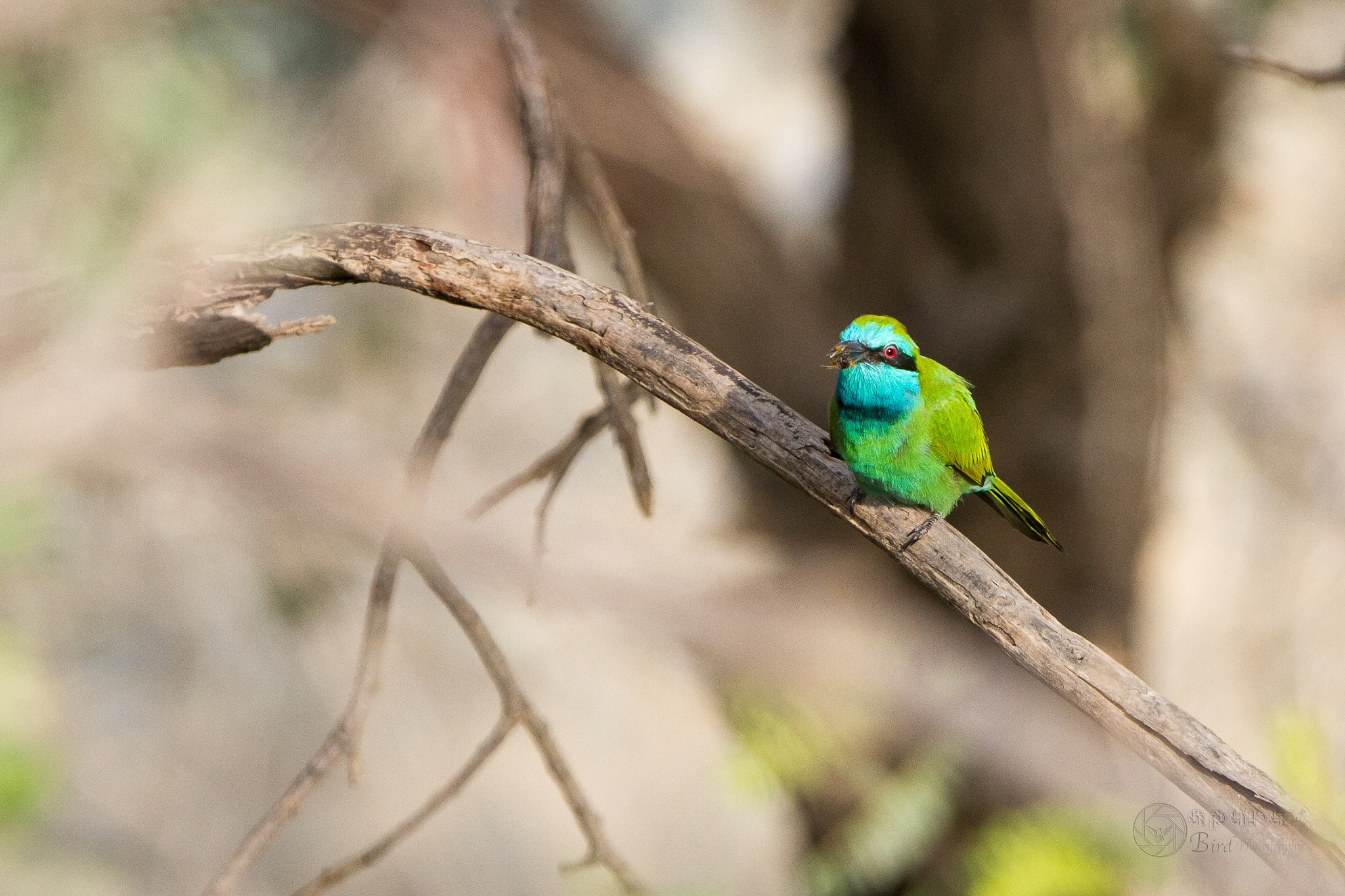 Blue-cheeked Bee-eater by Alvin Purificacion