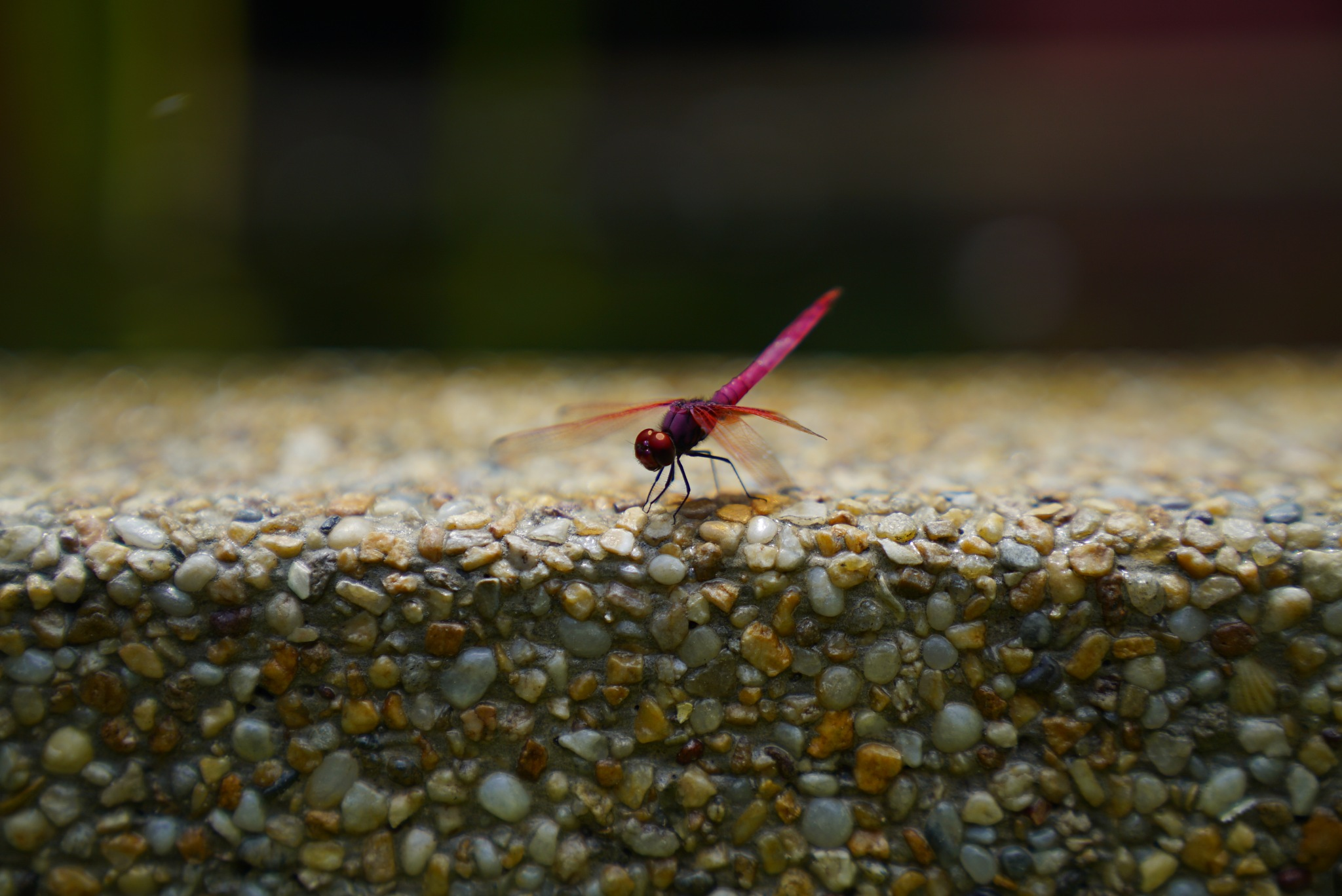 dragonfly 3 by jemuel wong