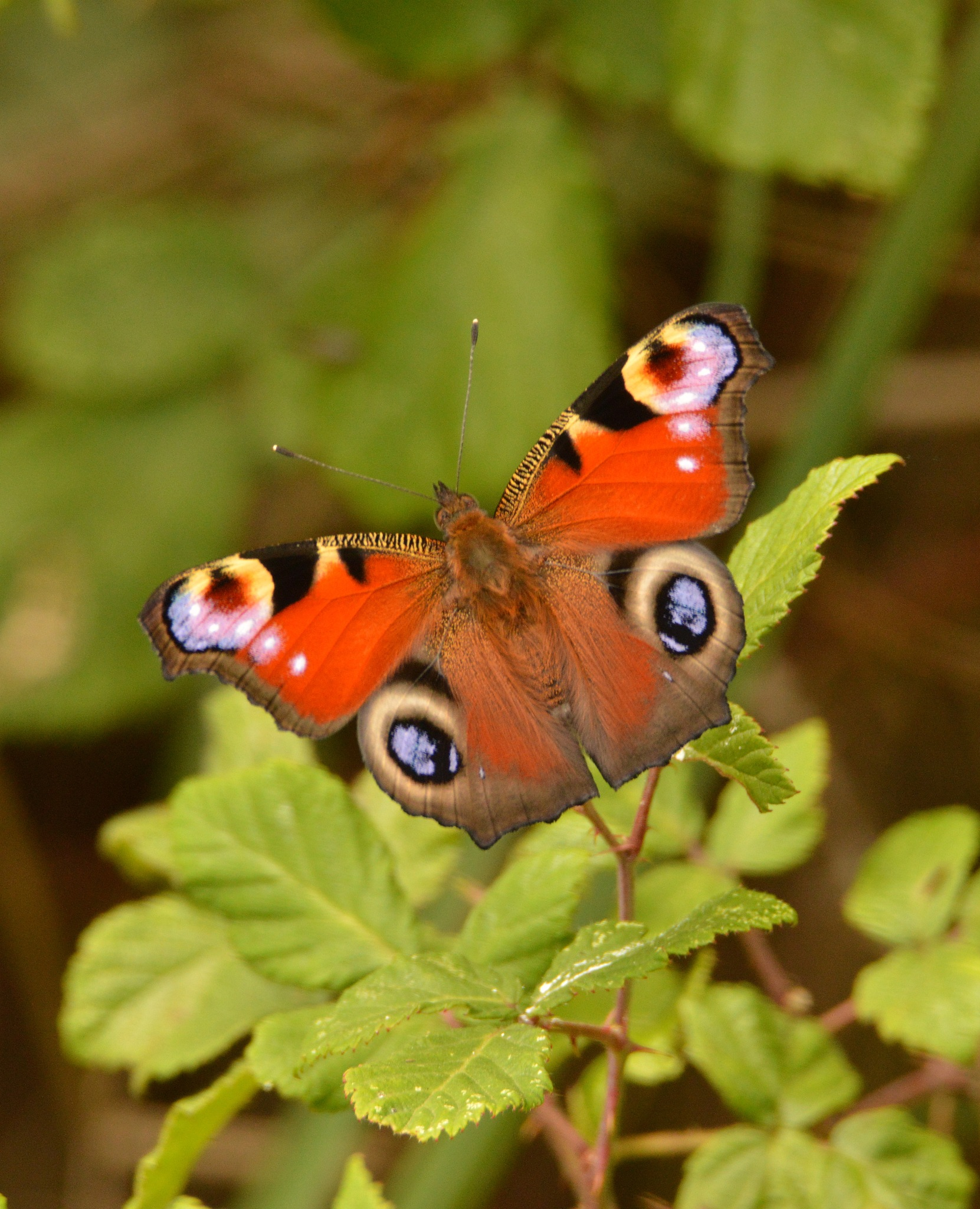 Peacock Butterfly by Paul Howes