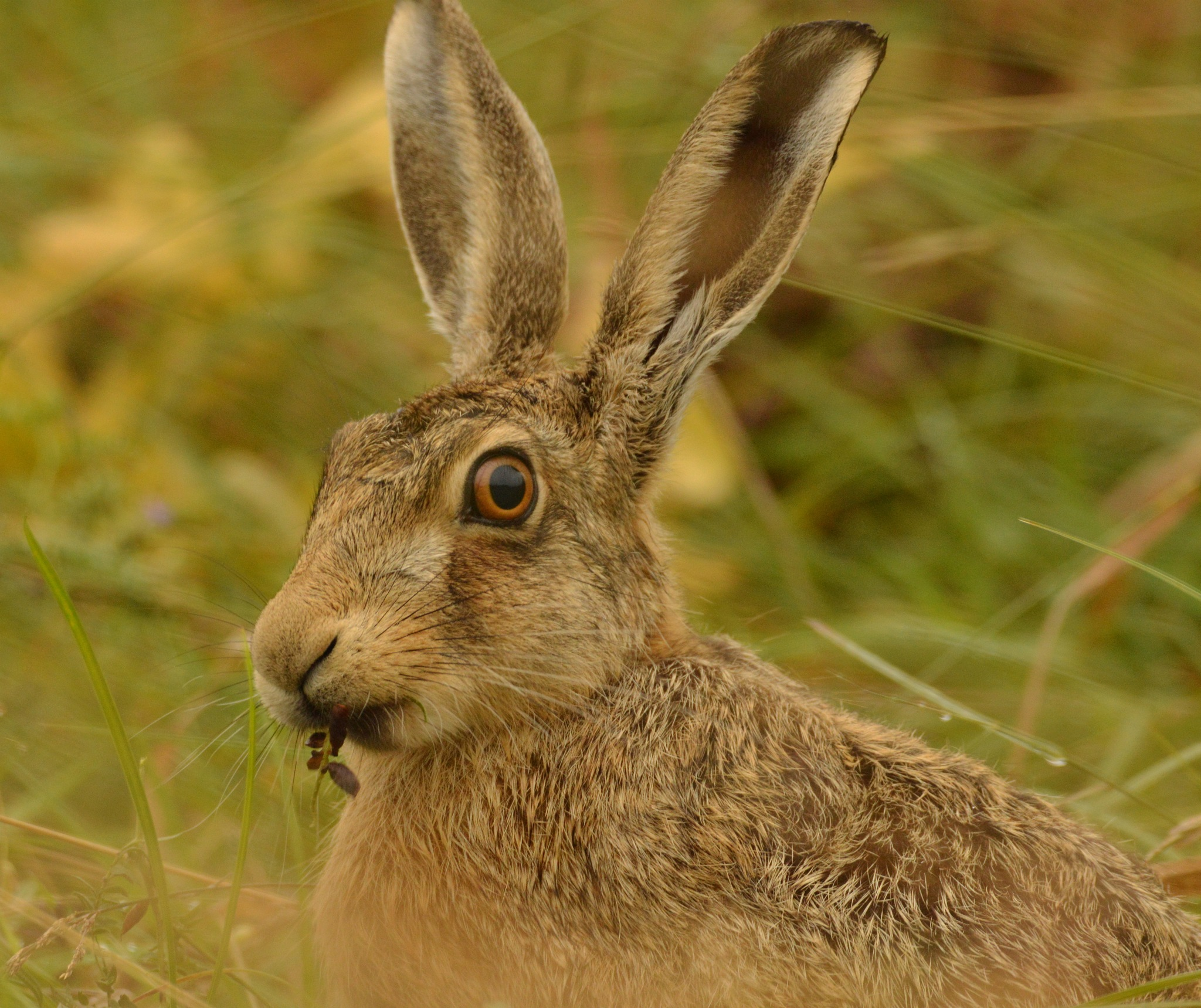 Brown Hare by Paul Howes