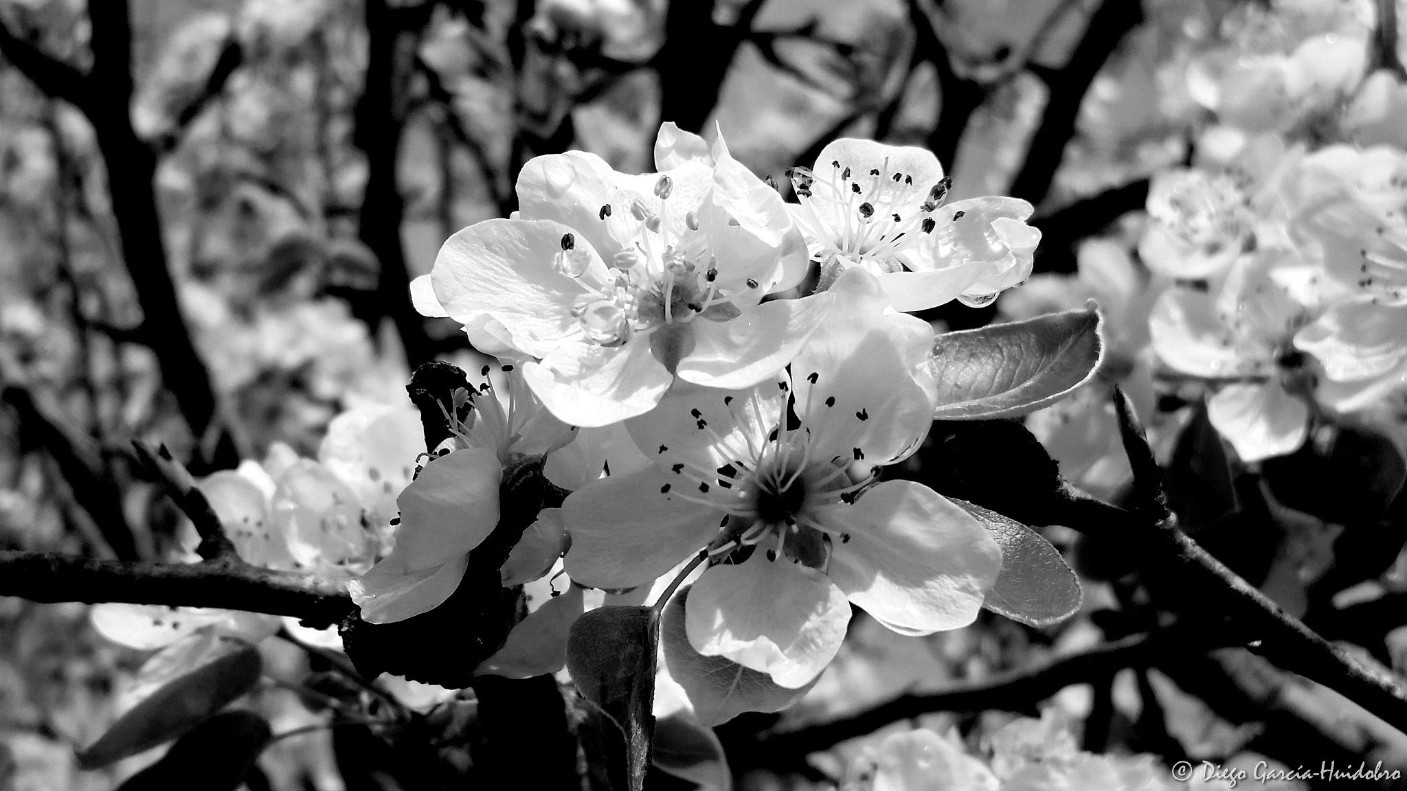 Flower inWhite by Diego García-Huidobro