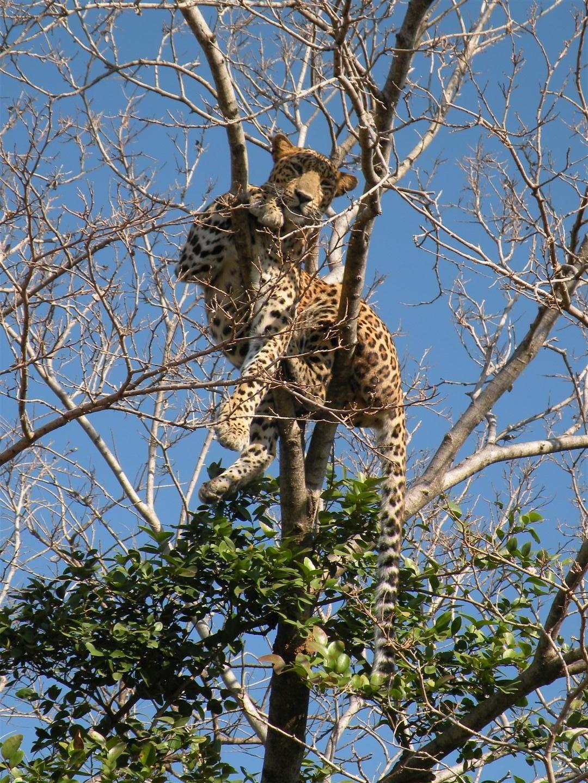 Leopard by Shrenik Dodhia