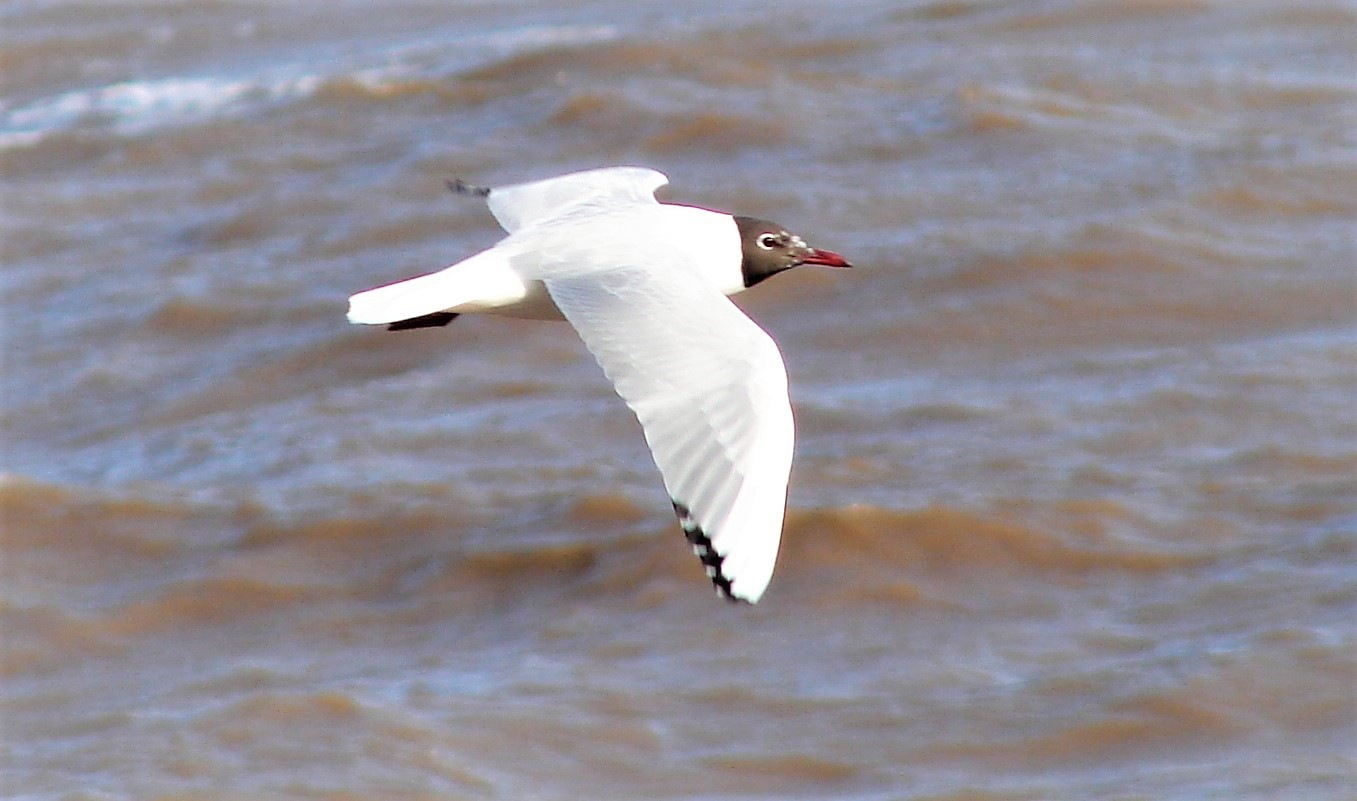 Black Headed Gull by Brian Johnson