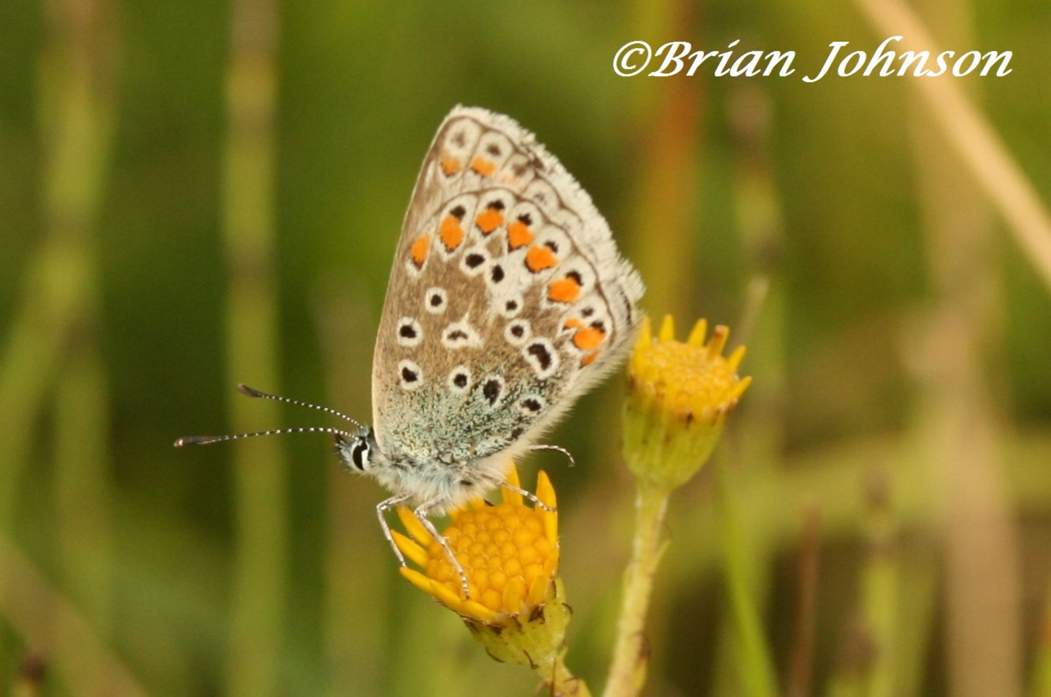 Common Blue butterfly, UK by Brian Johnson