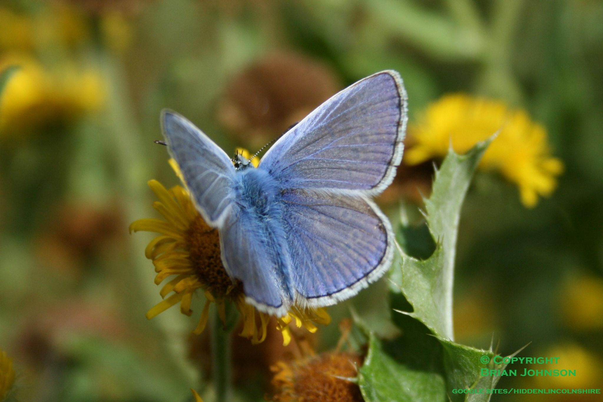 Common Blue Butterfly by Brian Johnson