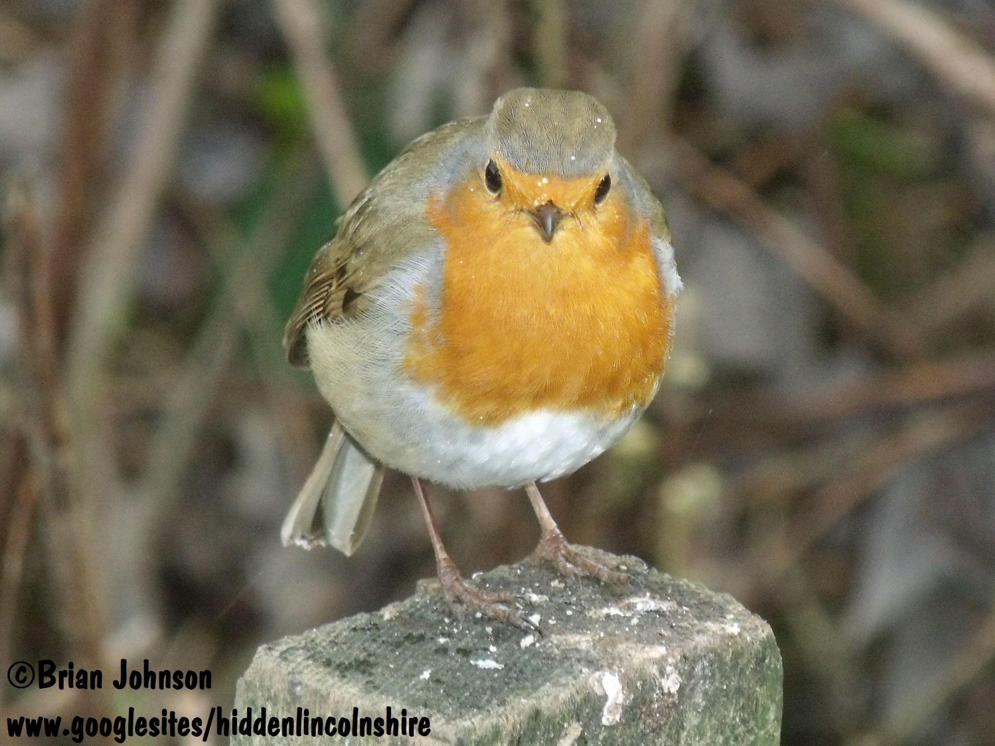 Plump little Robin in the rain. by Brian Johnson